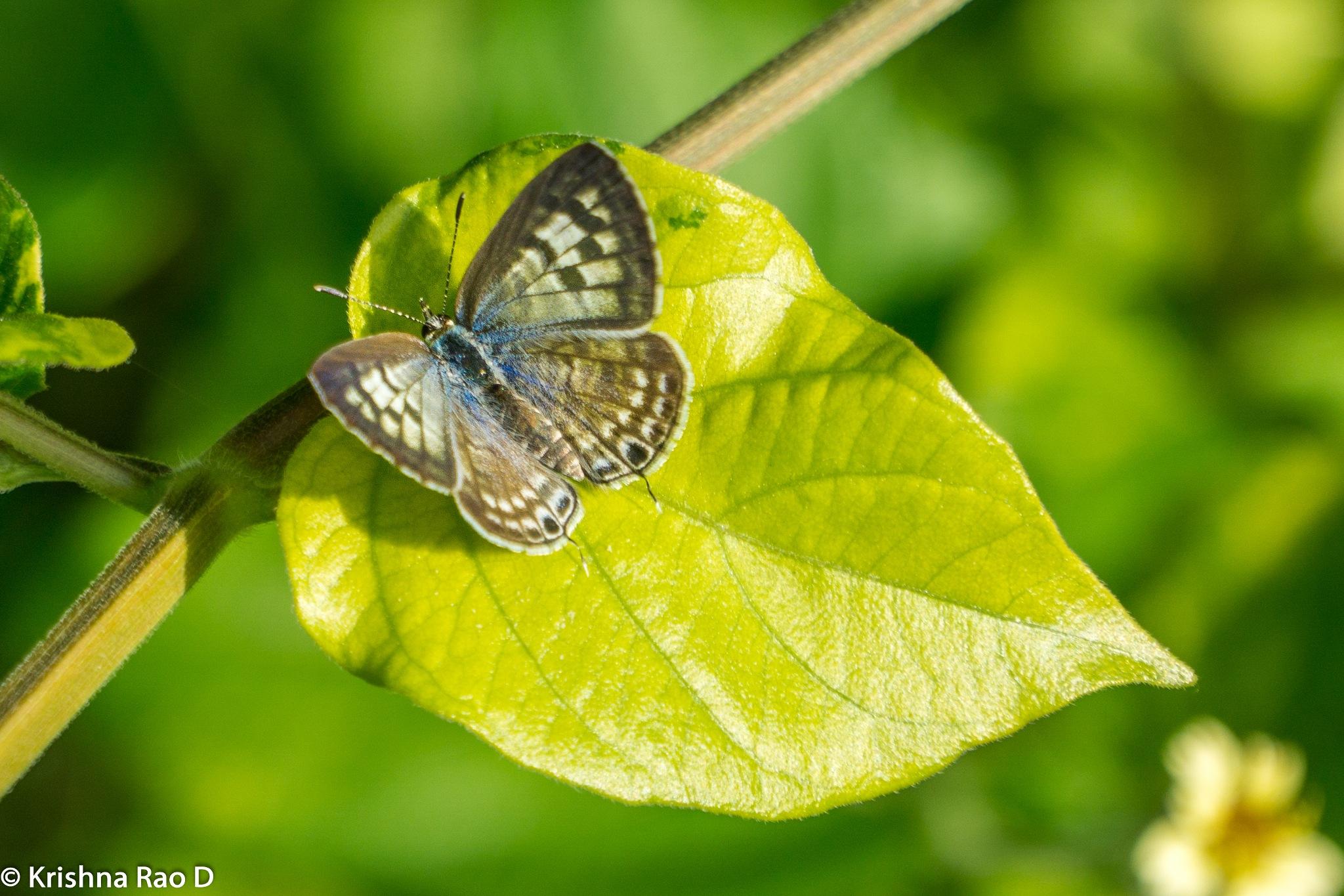 butterfly by Krishna Rao D