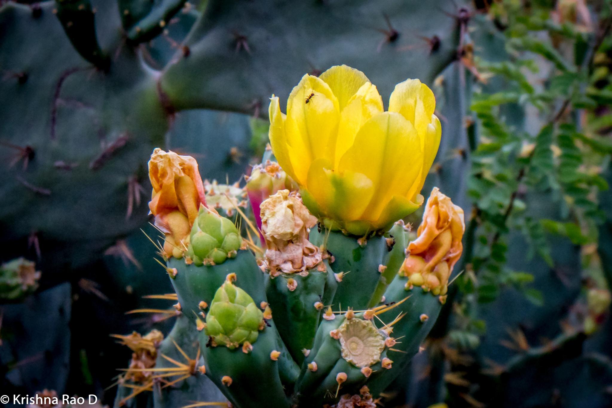 cactus flower by Krishna Rao D
