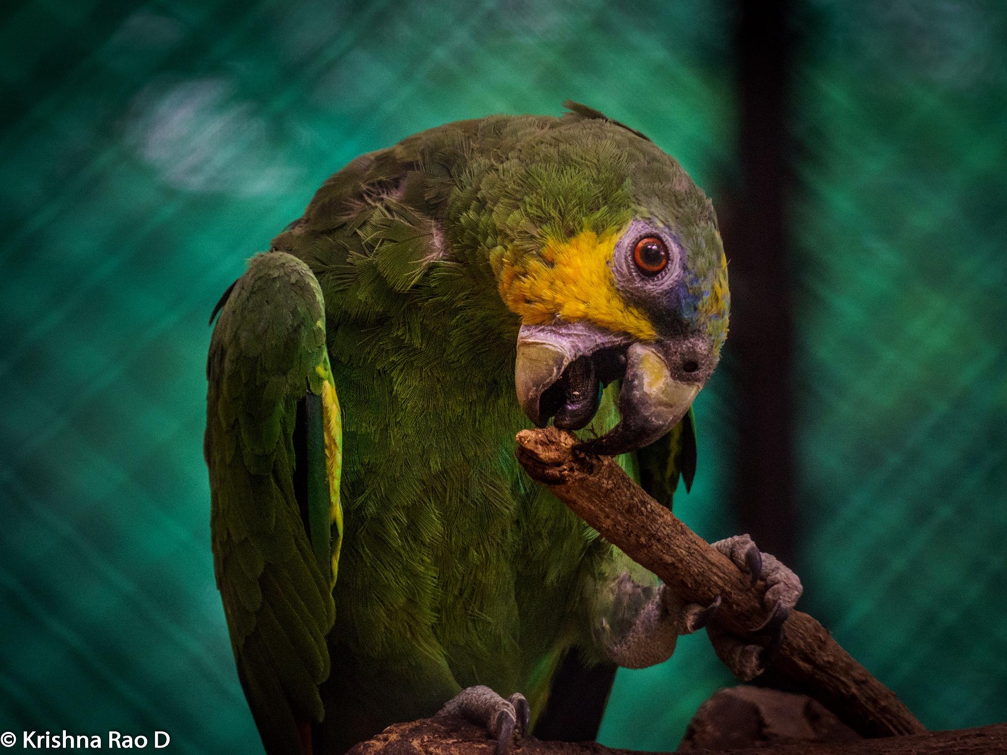 parrot by Krishna Rao D