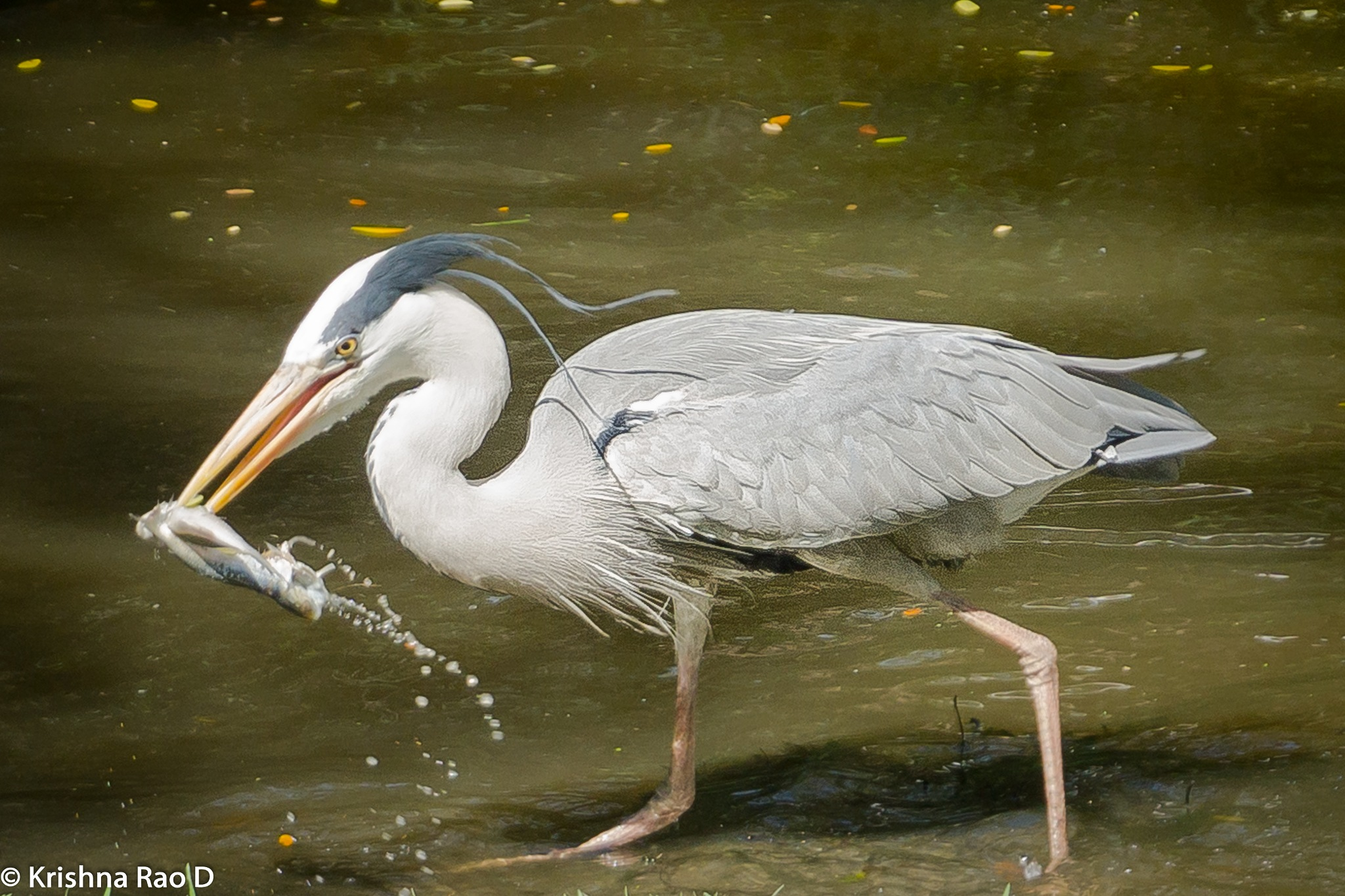 egret catching fish by Krishna Rao D