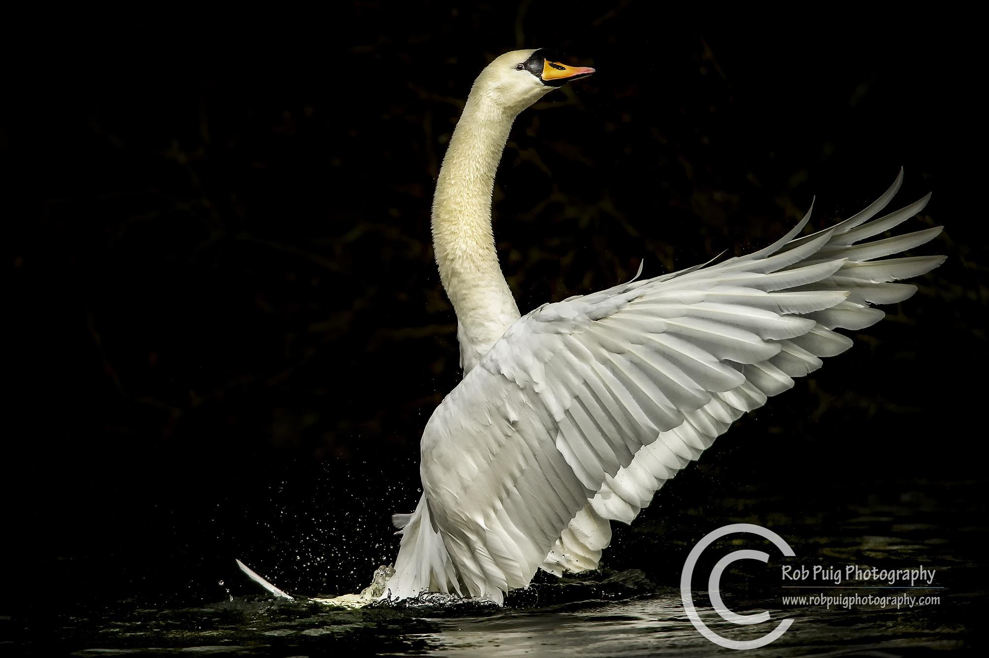 Swan Lake by Robert Puig
