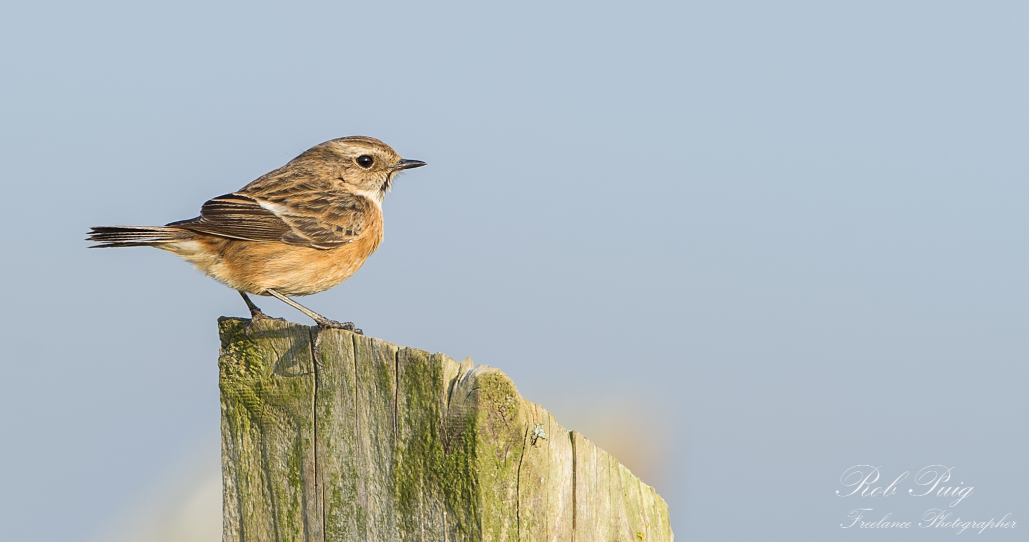 Stonechat by Robert Puig