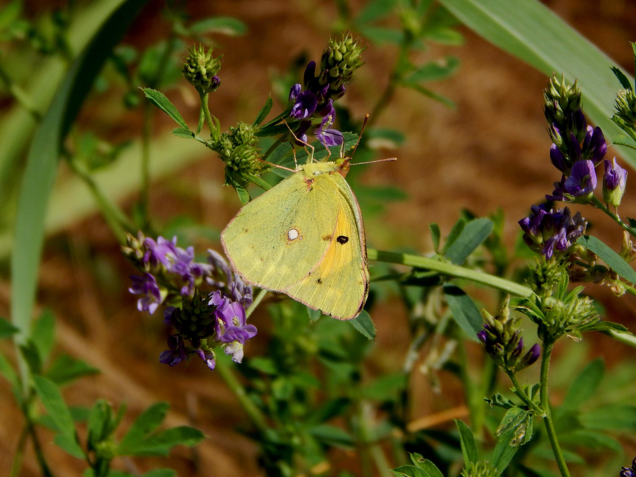 Yellow butterfly  by robertamastretta