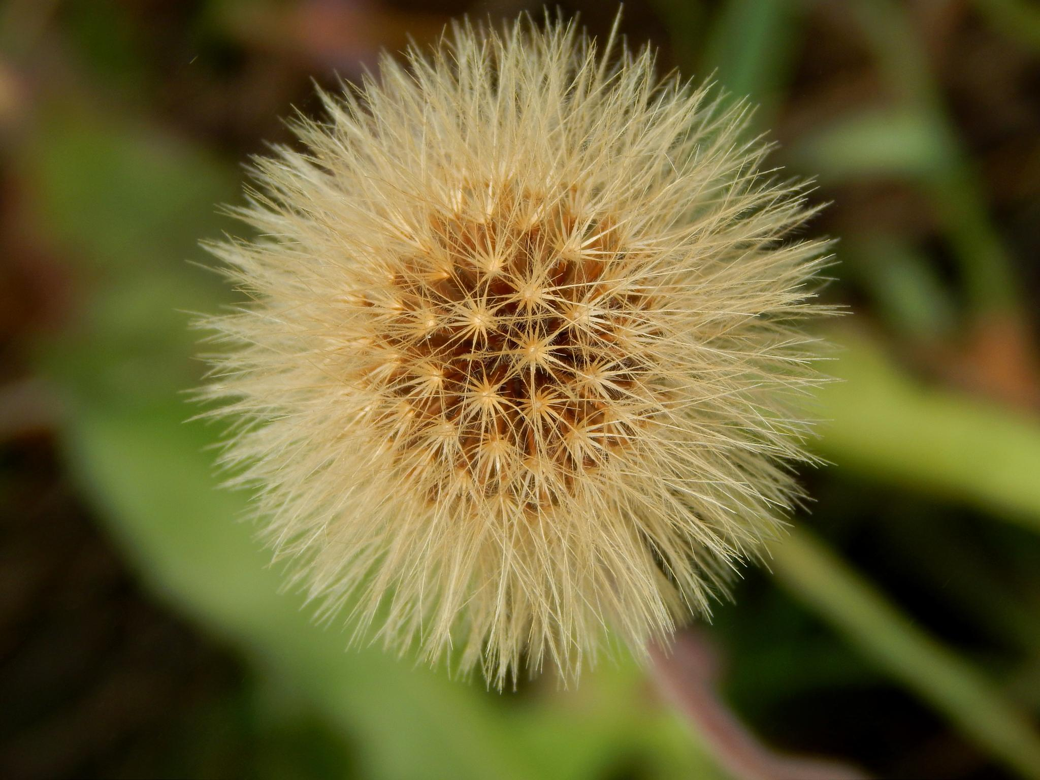 Puff ... Flower :-)  by robertamastretta
