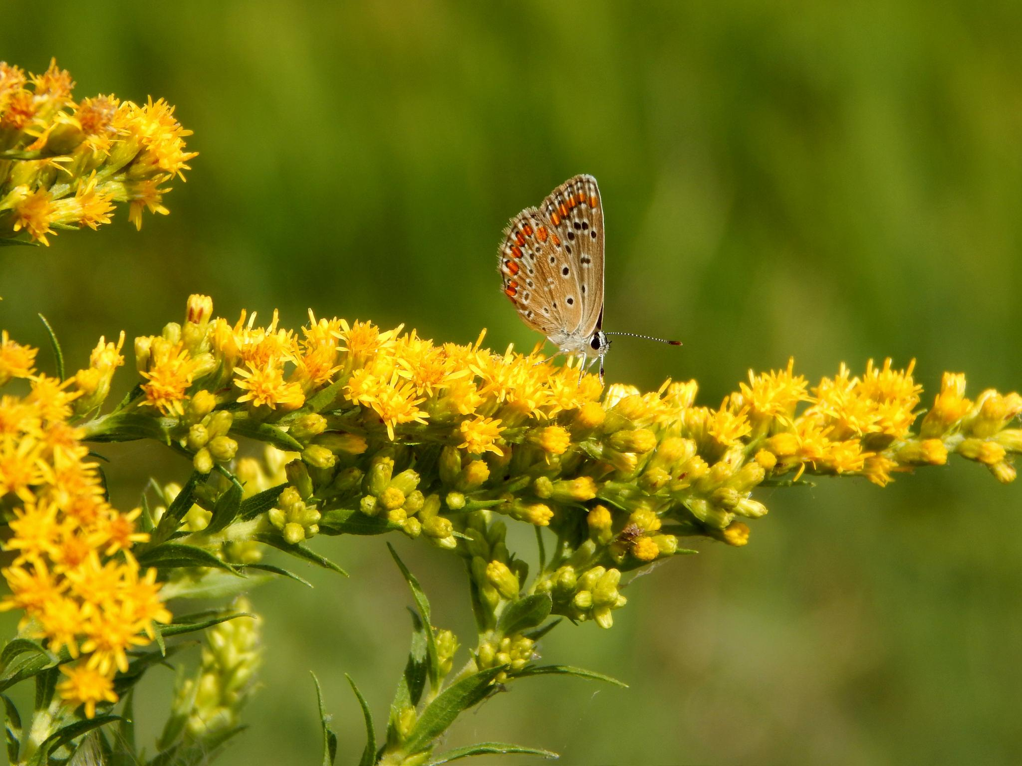 A nice little butterfly on yellow Flower  by robertamastretta