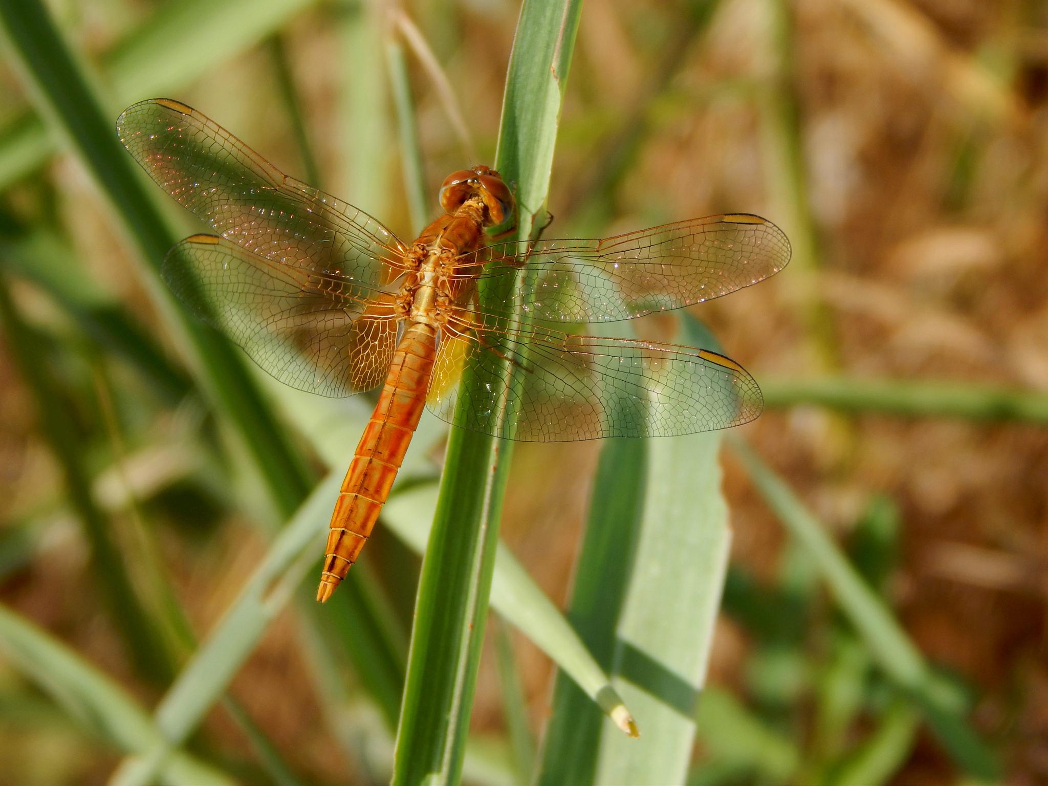Orange .. Dragonfly  by robertamastretta