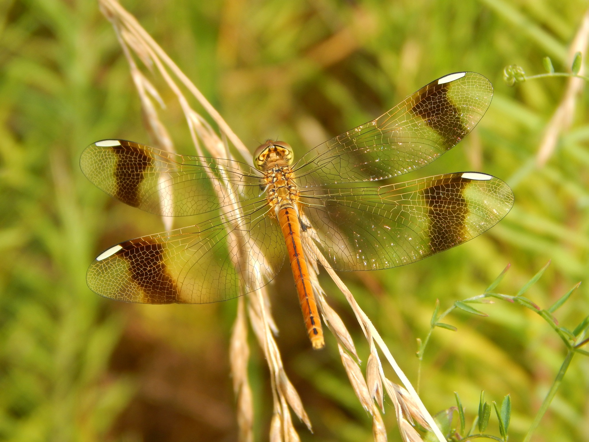 Dragonfly by robertamastretta