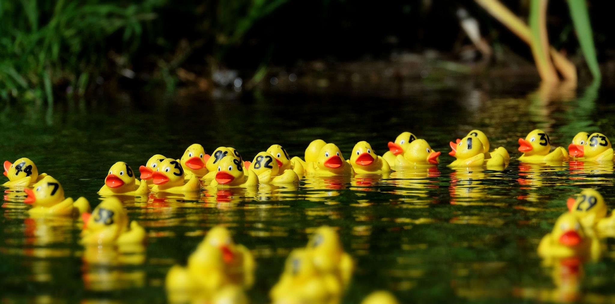 Braunton Duck Race by John191cr