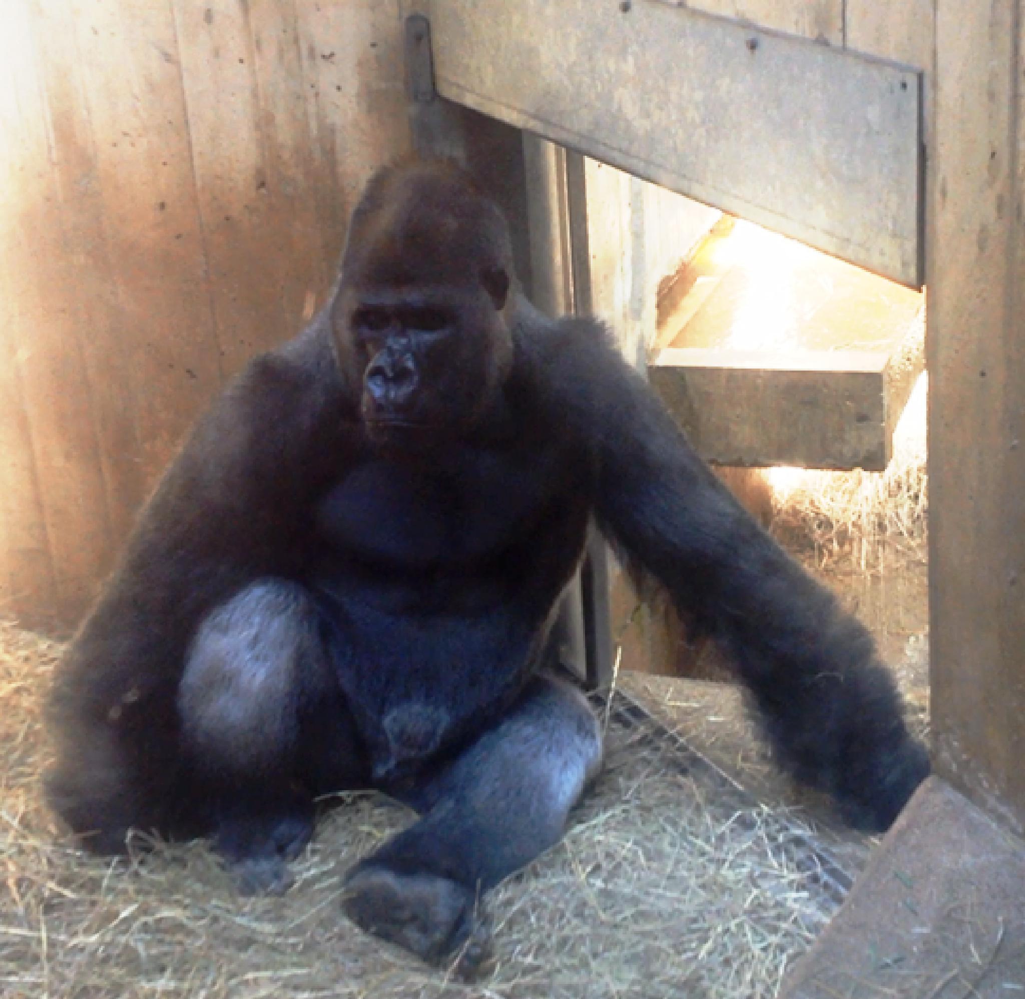 Gorilla by PVGD