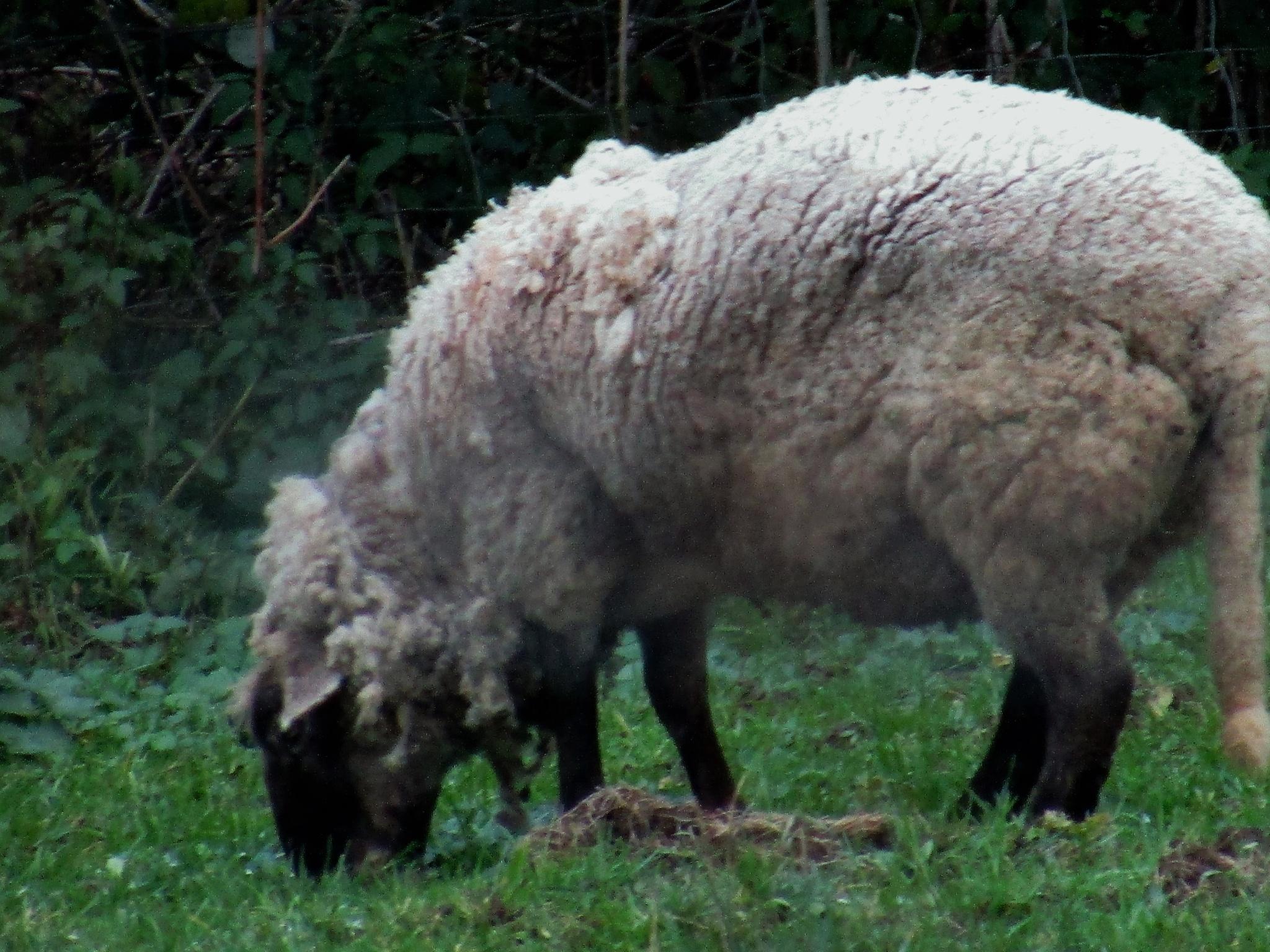 Mouton by catherinevigili