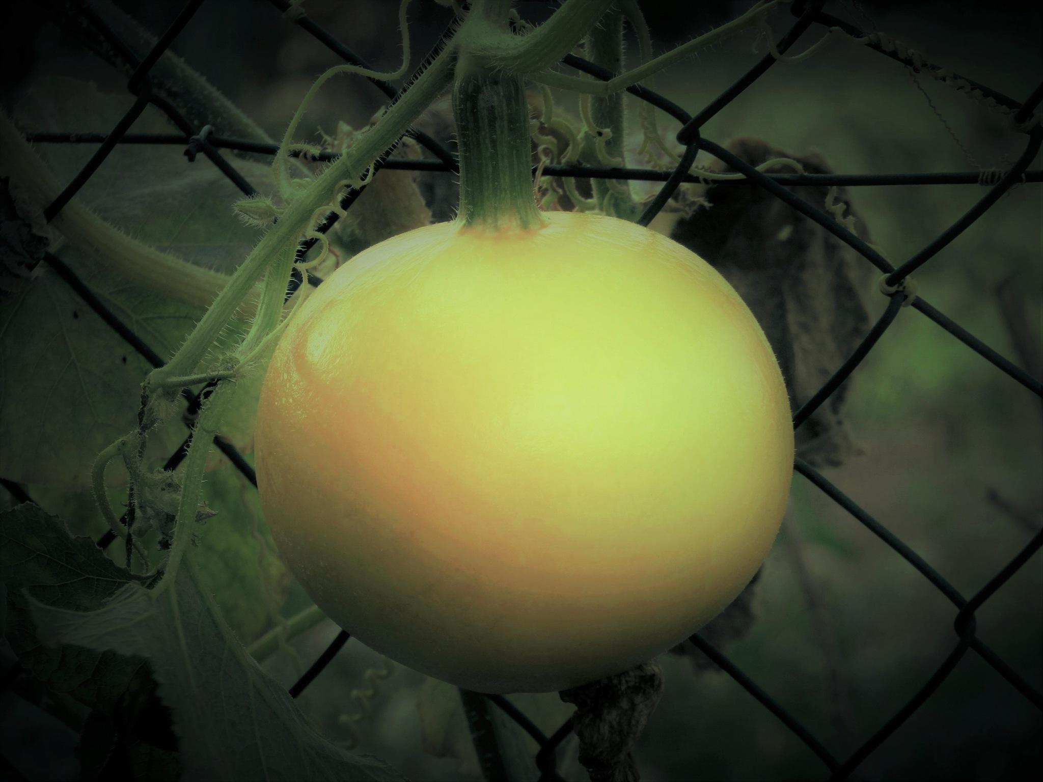 tomate by catherinevigili
