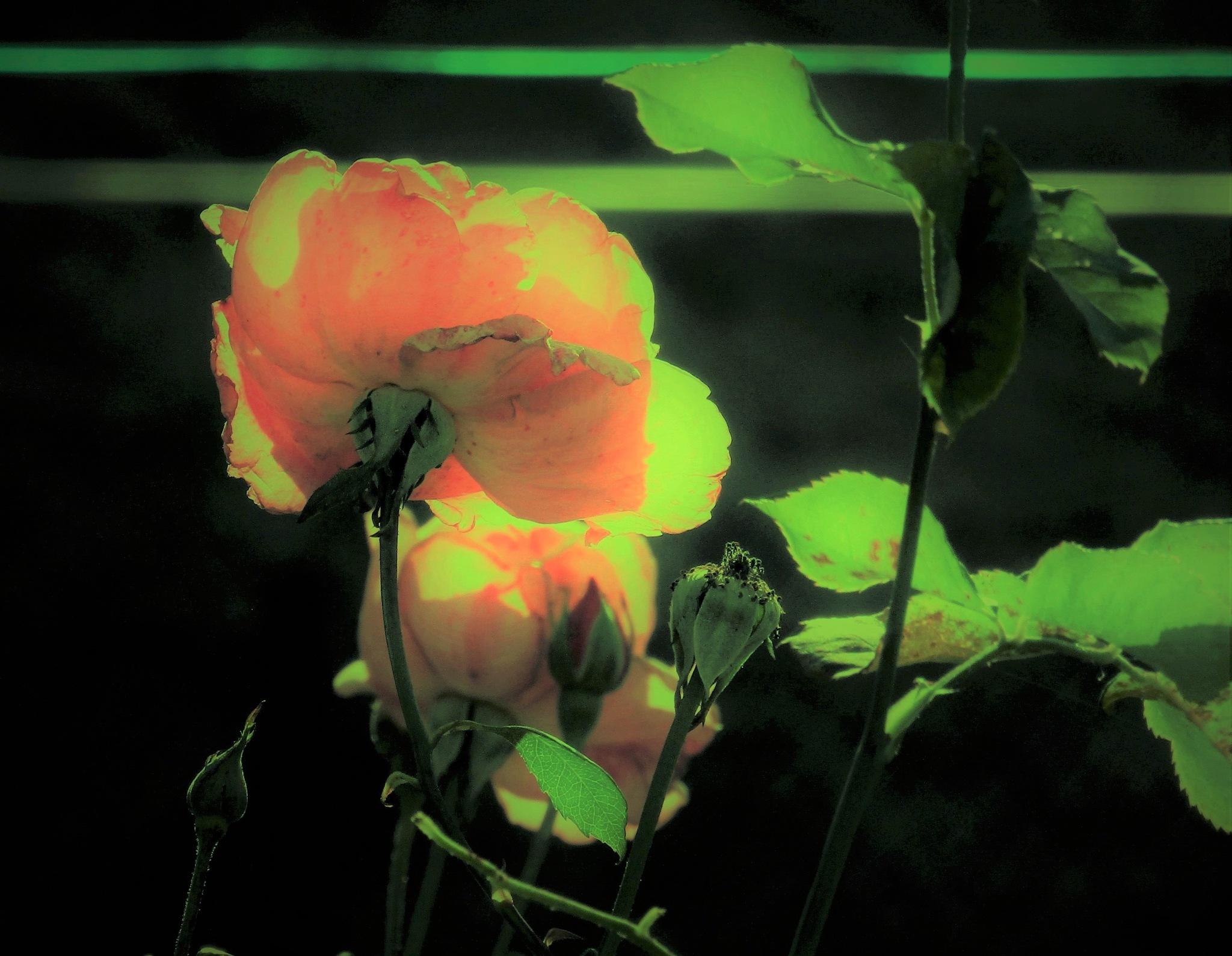 rosier by catherinevigili