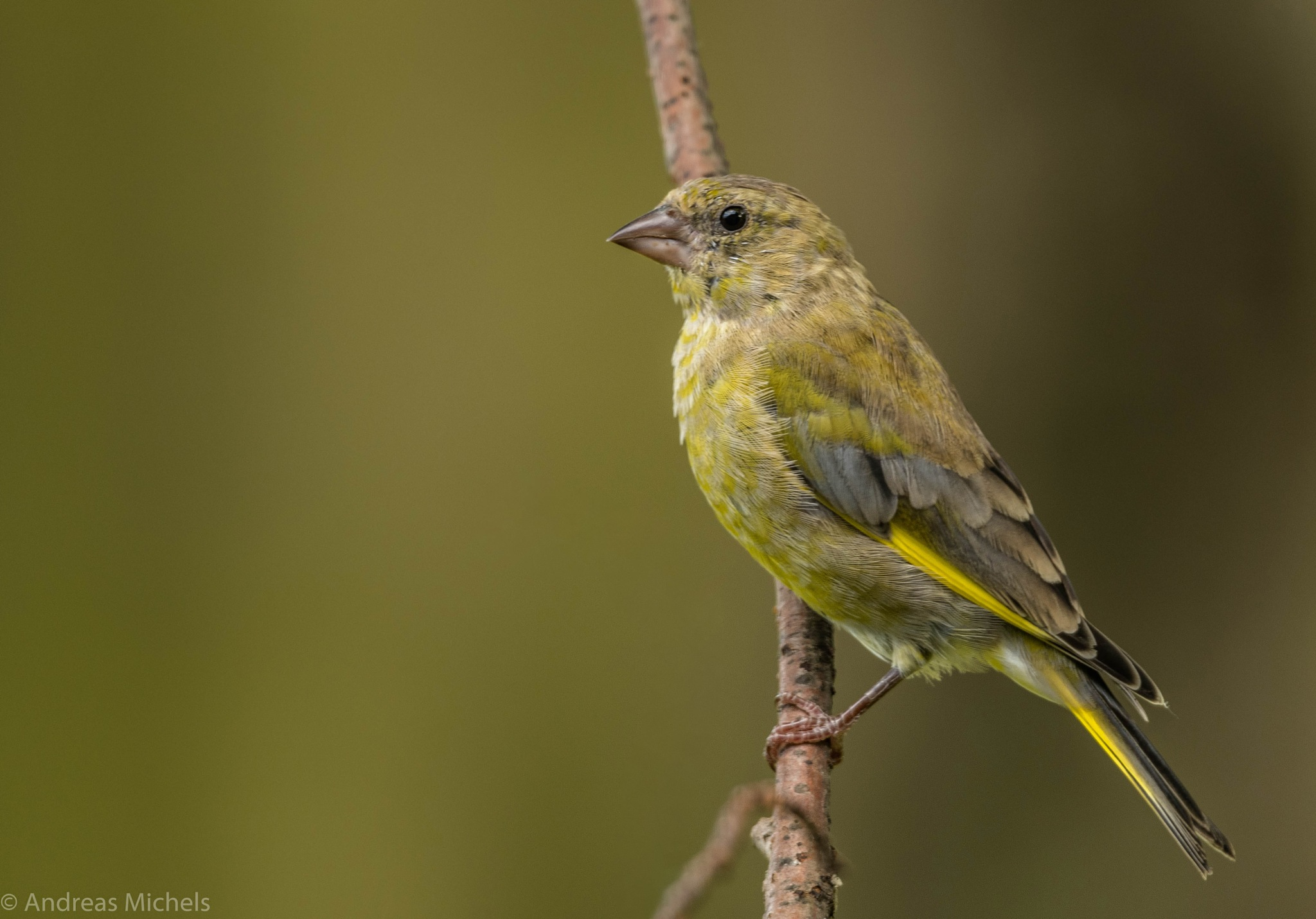 Finch. by Andreas Michels