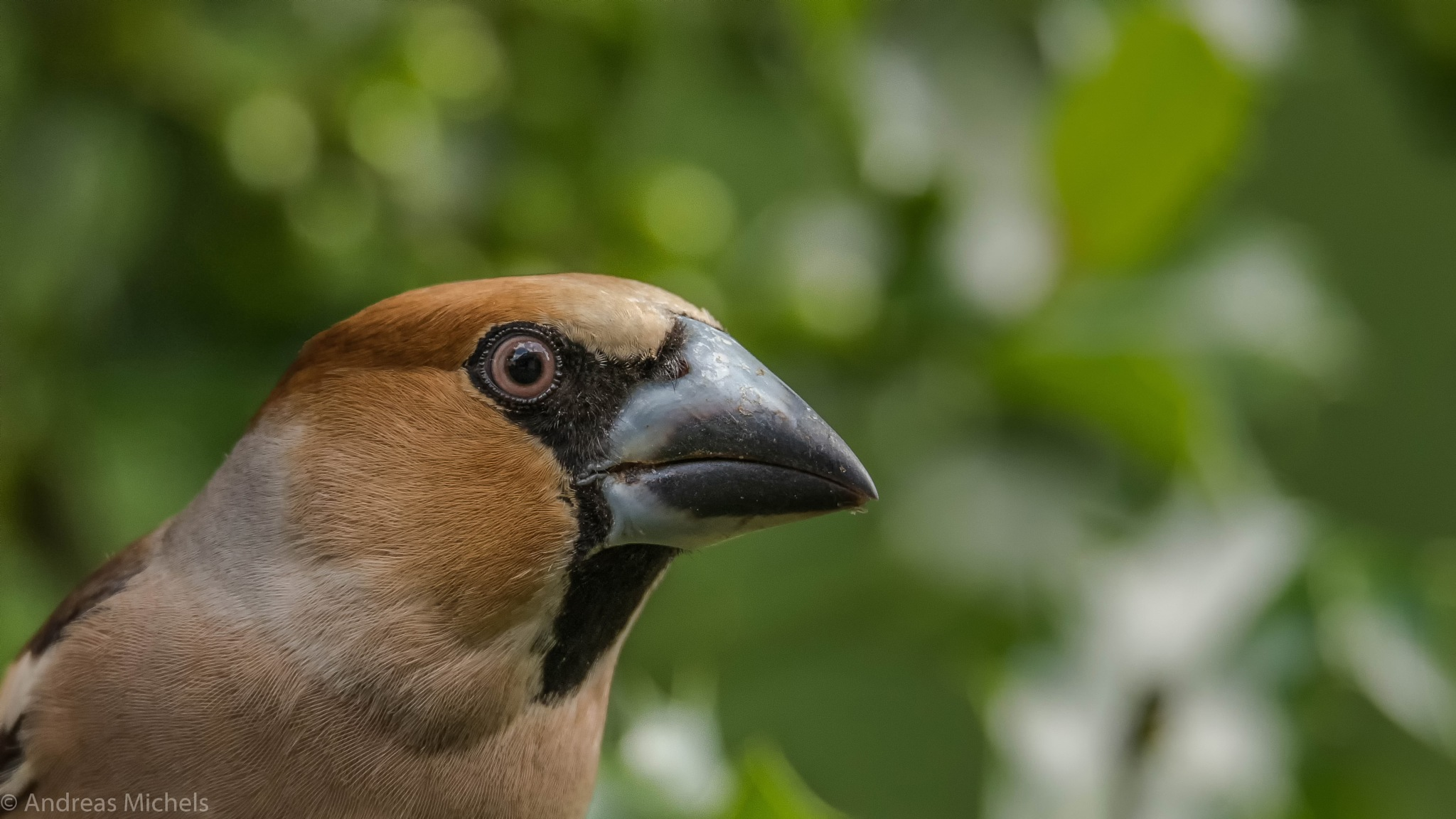 Hawfinch by Andreas Michels