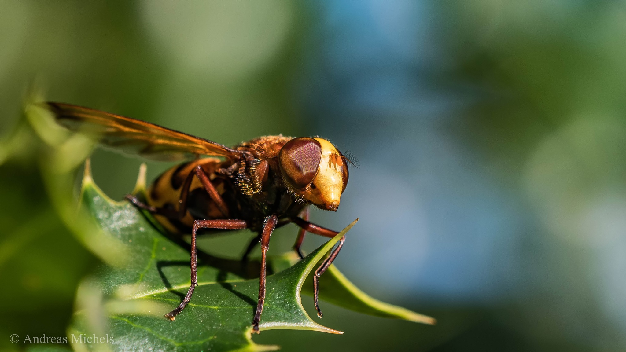 Volucella. by Andreas Michels