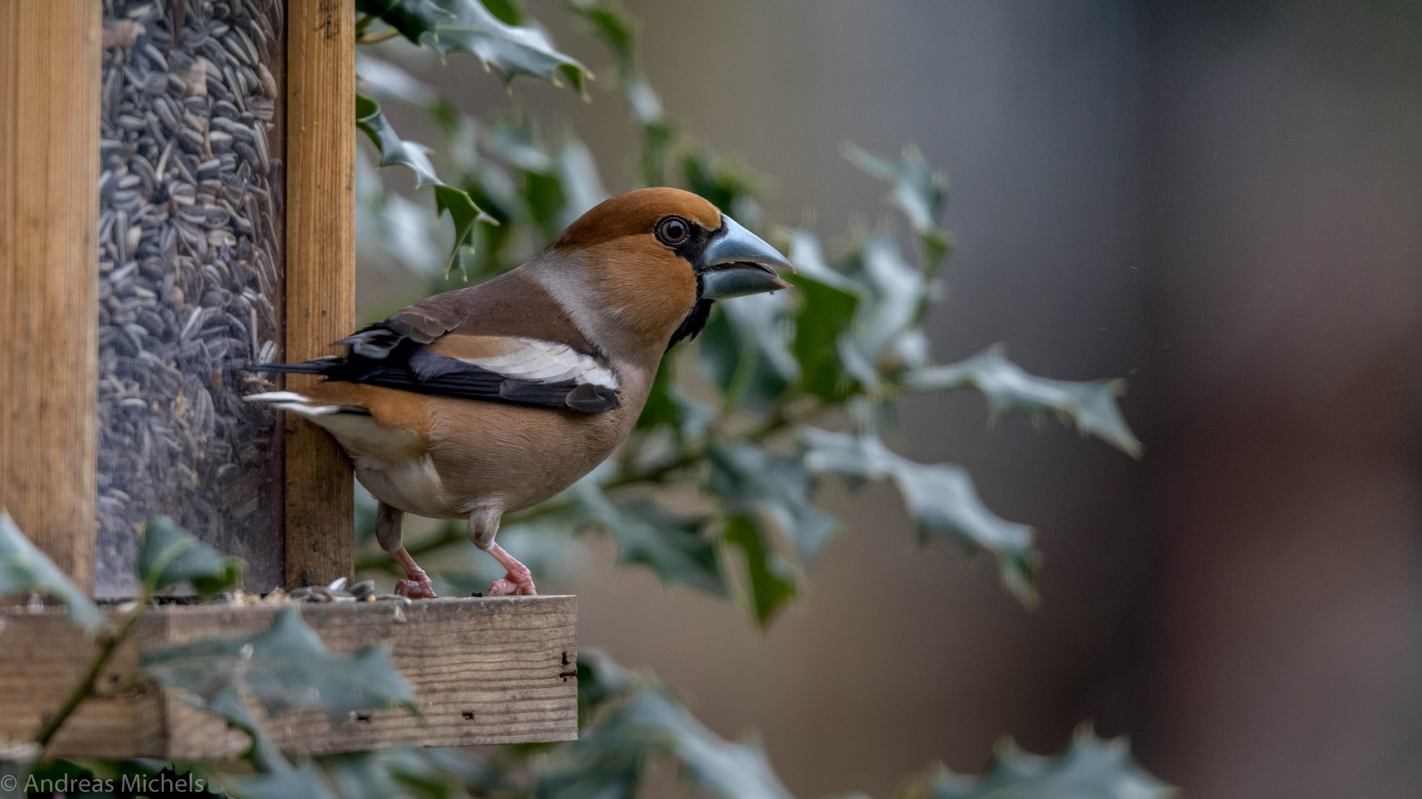 Hawfinch. by Andreas Michels