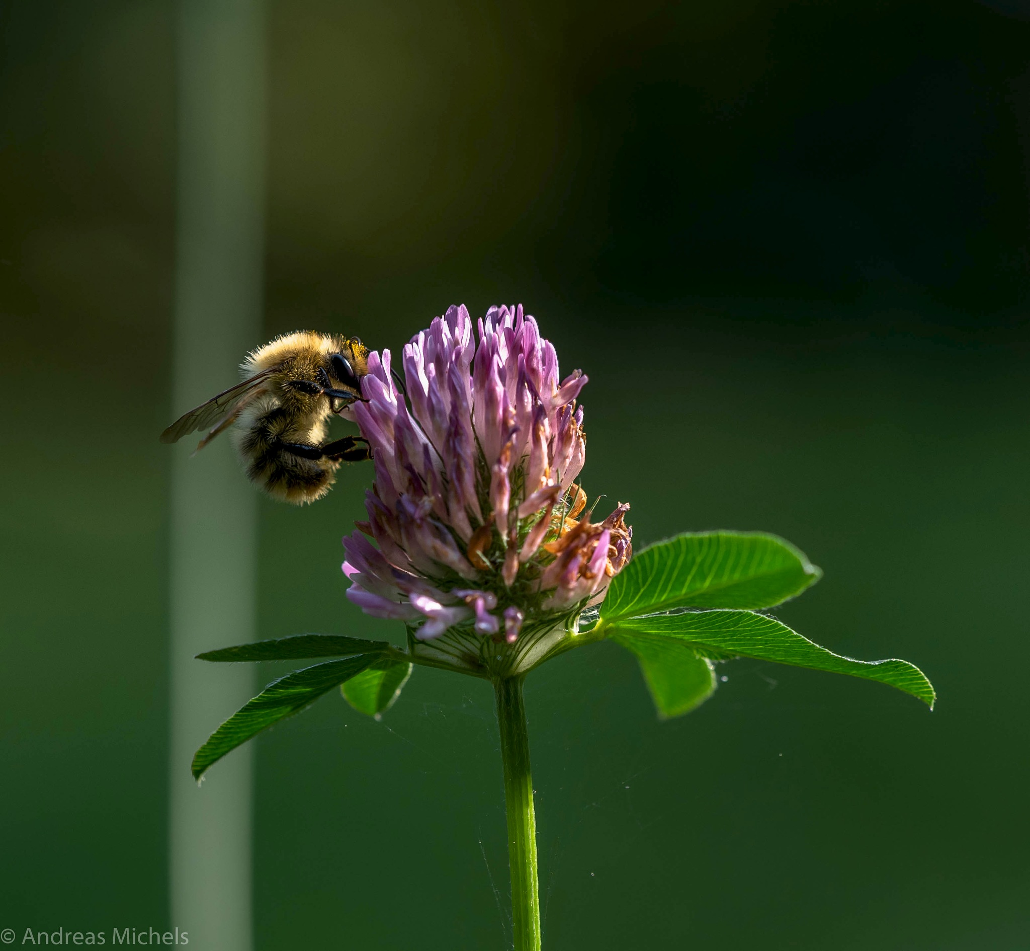 Bee by Andreas Michels