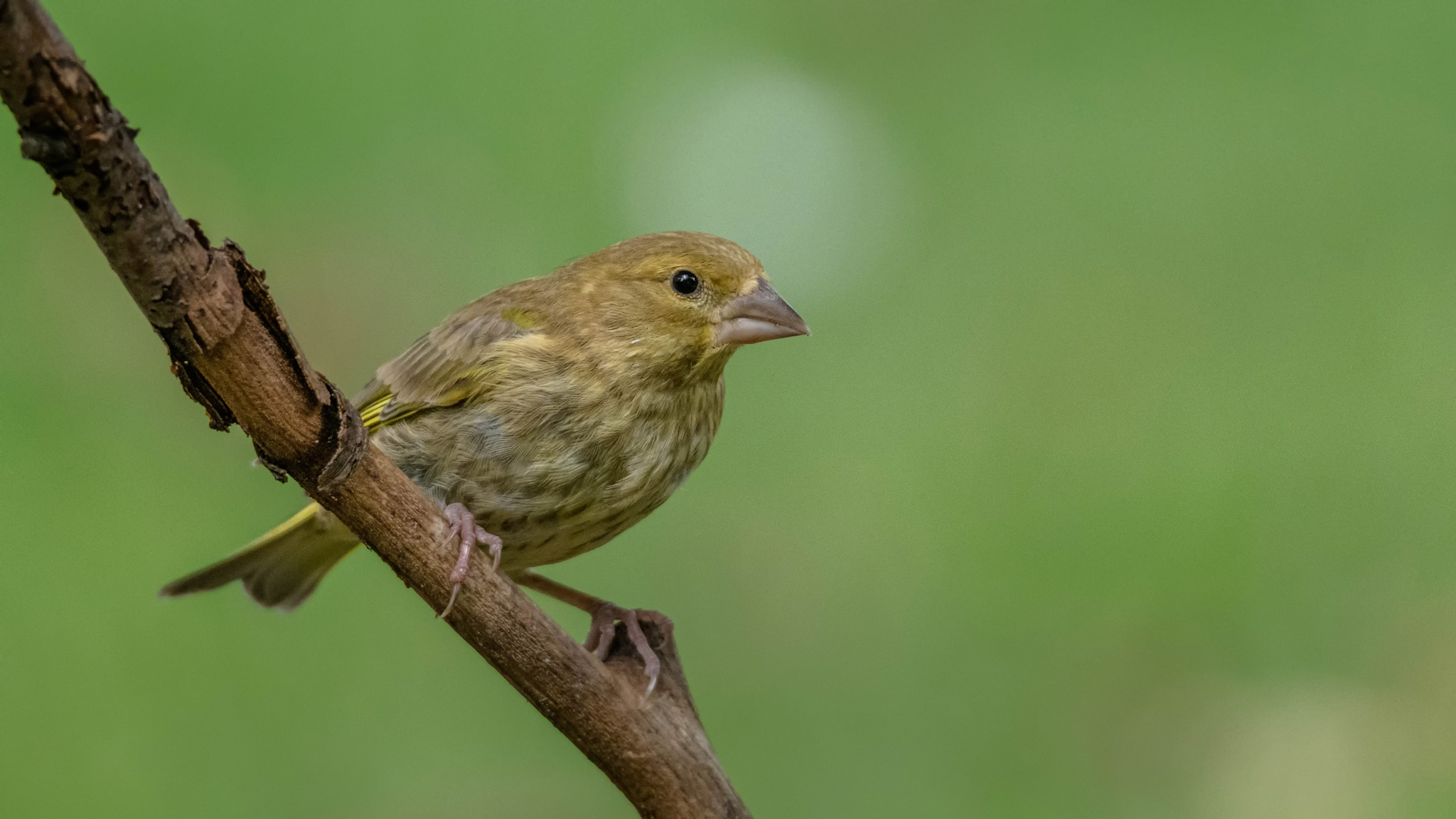 Green Finch. by Andreas Michels