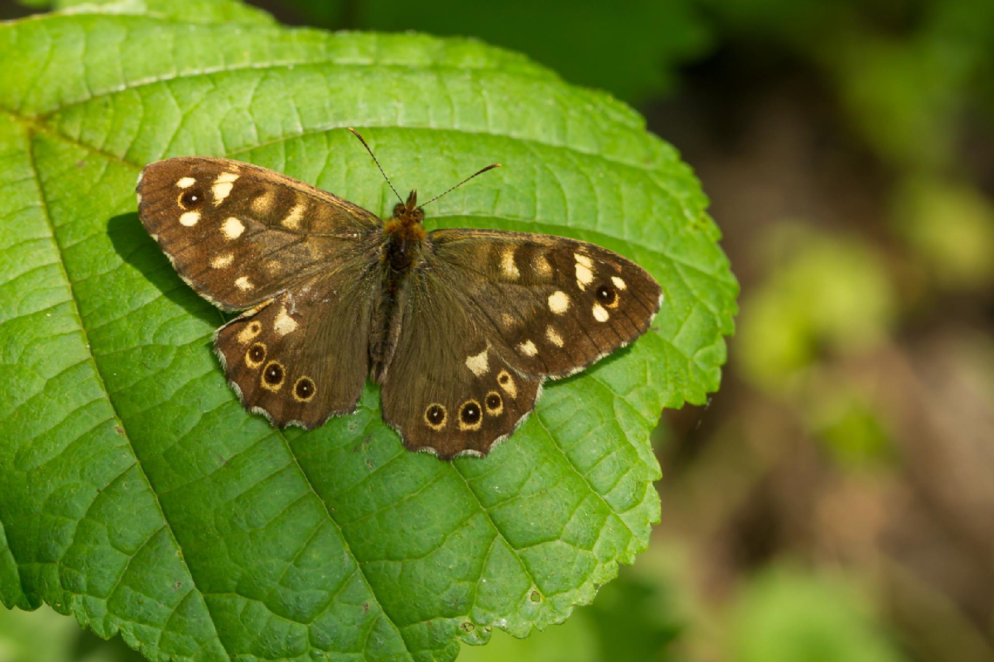 Speckled Wood butterfly by JoseVerstegen