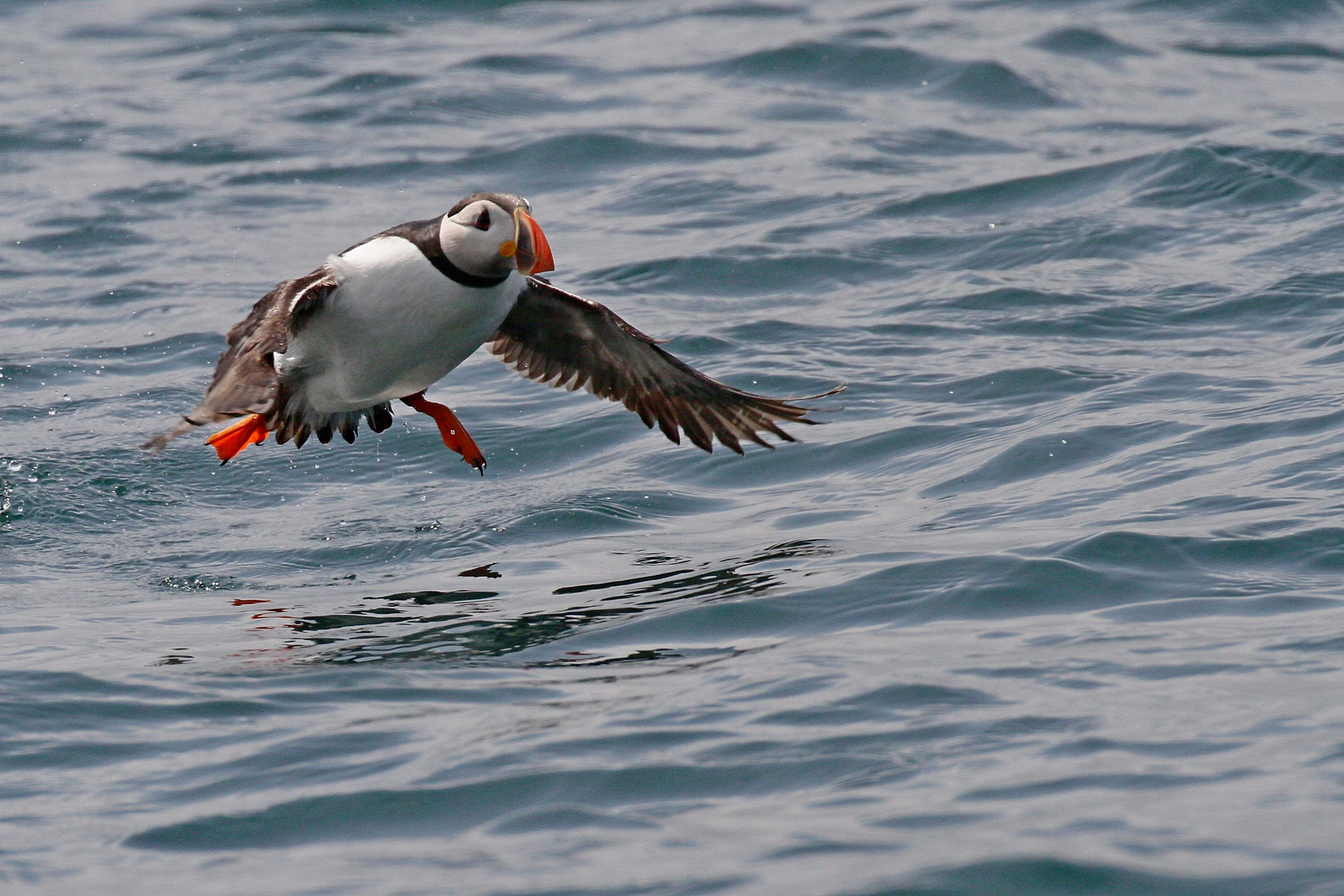 Puffin by Steve Rawlings