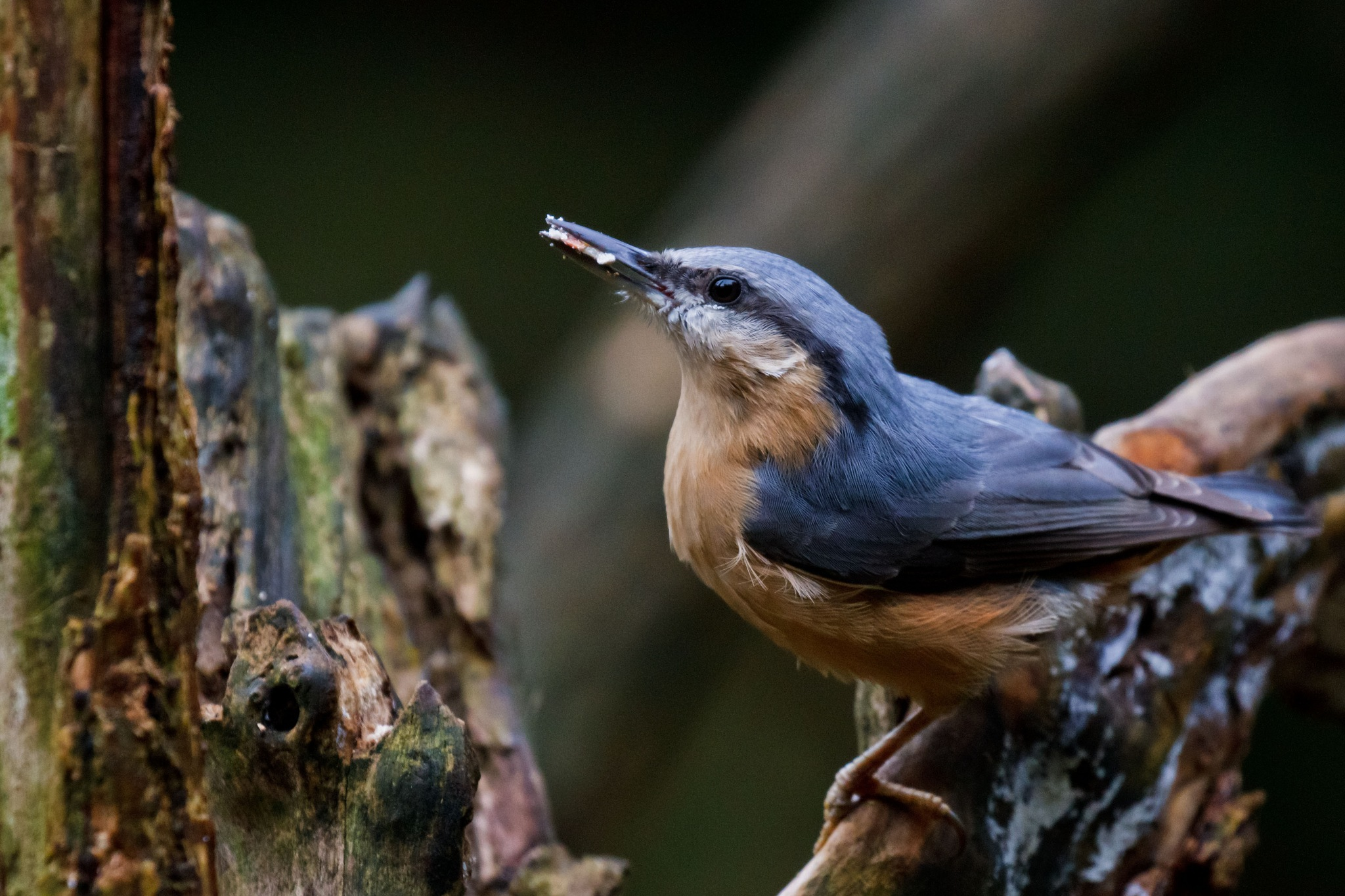 Nuthatch Feeding by Steve Rawlings