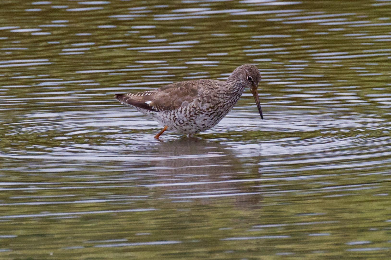 Redshank  by Steve Rawlings