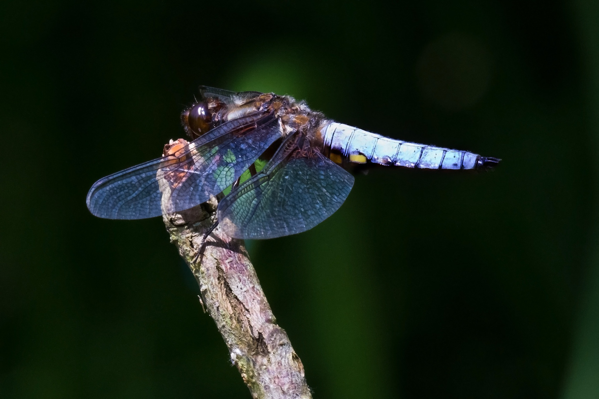 Male Broad-bodied Chaser  by Steve Rawlings