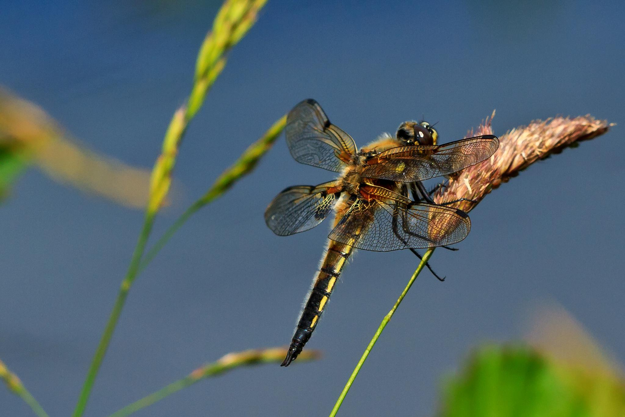 Four-spotted Chaser by Steve Rawlings