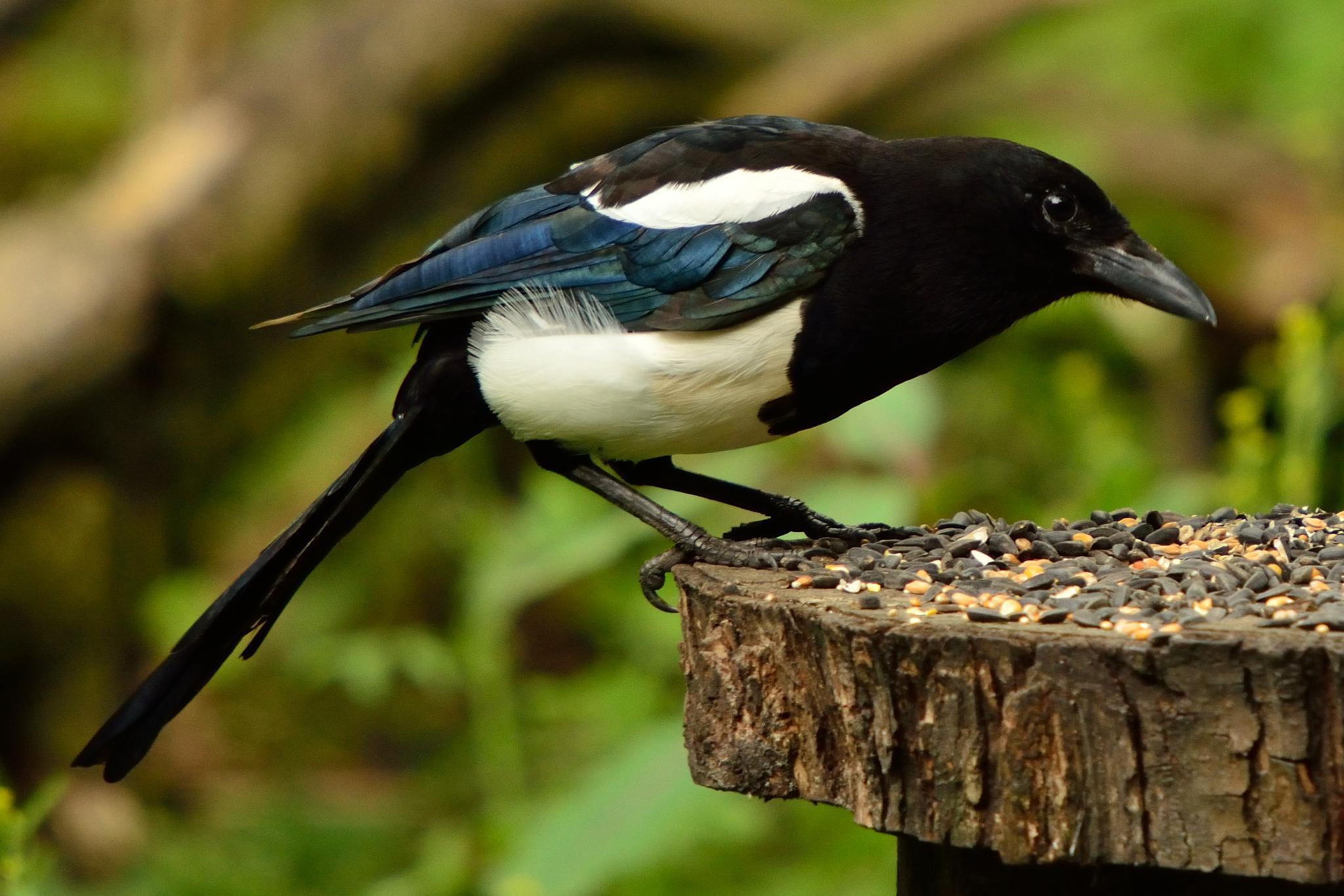 Magpie by Steve Rawlings