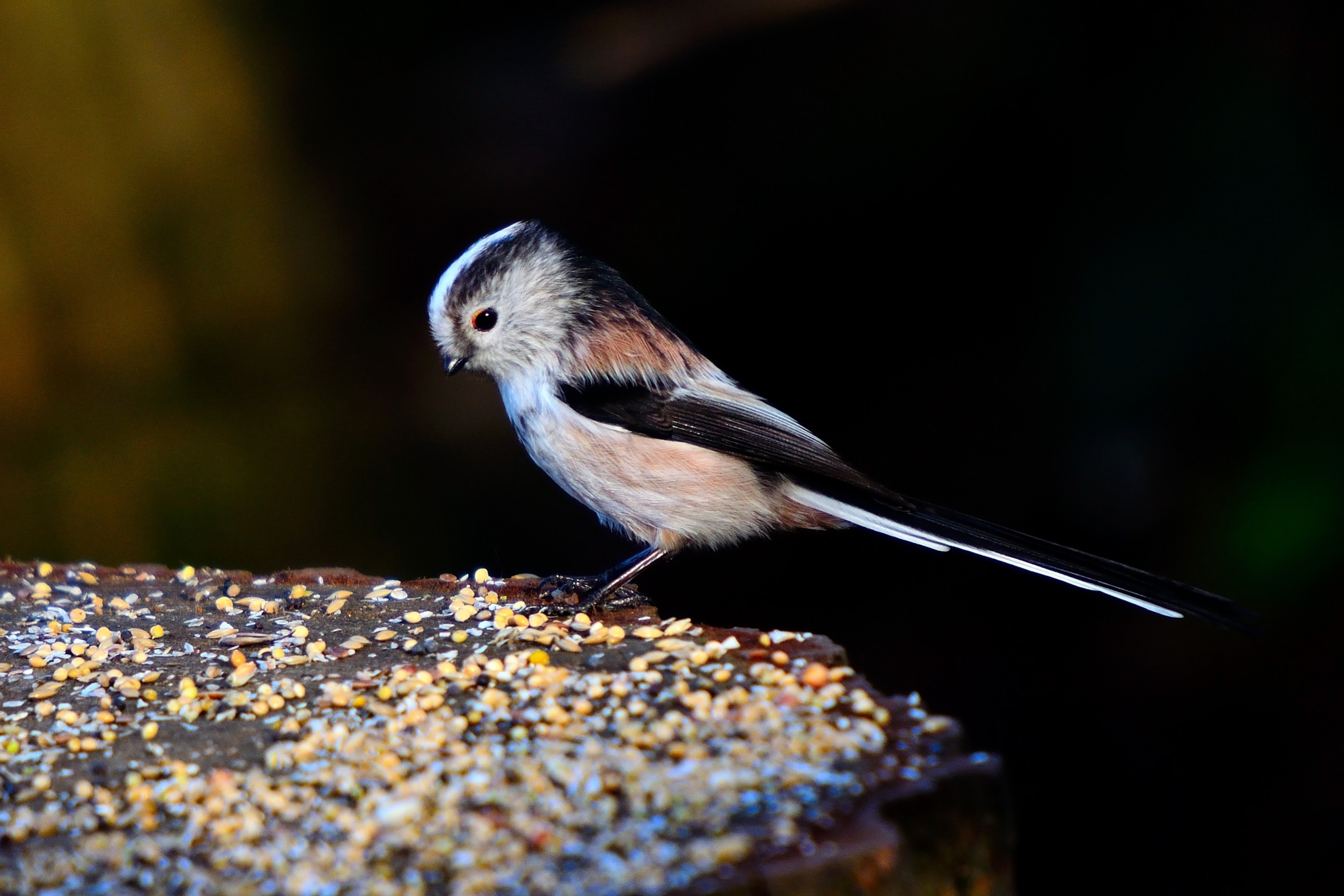 Long-tailed Tit by Steve Rawlings