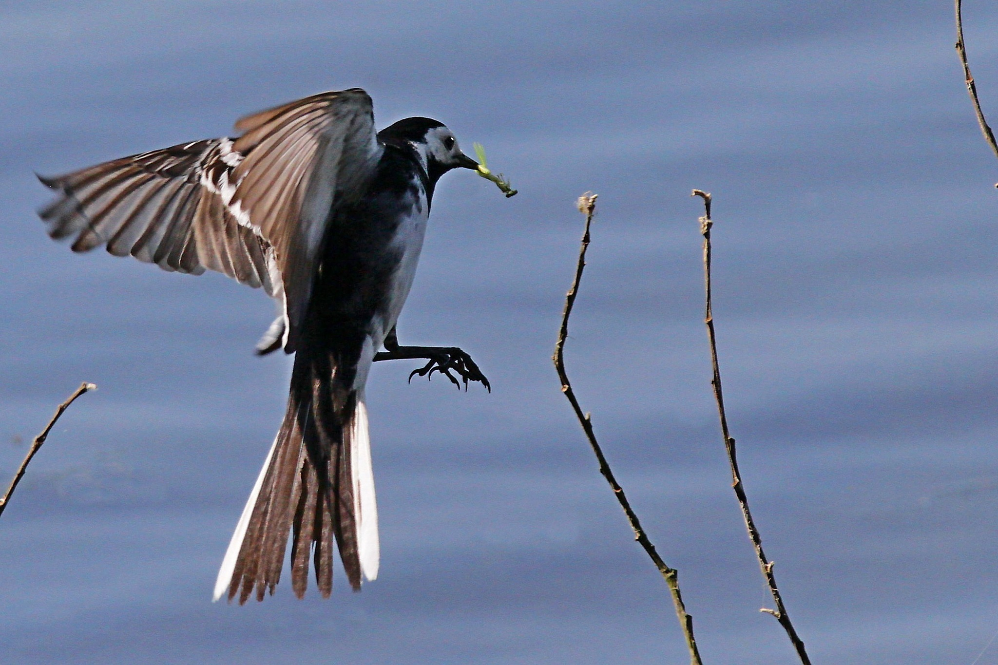Pied Wagtail by Steve Rawlings