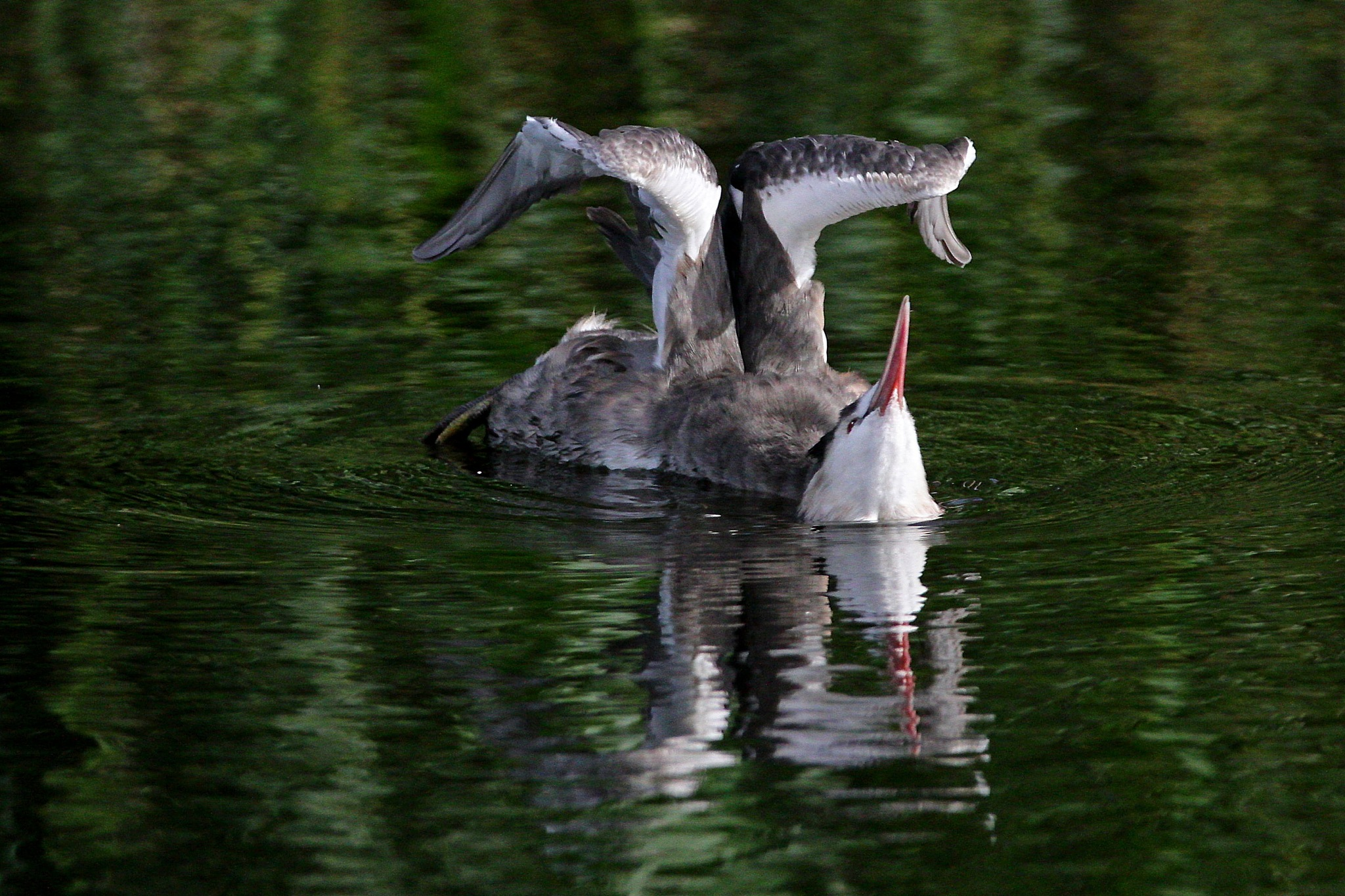 Great Crested Grebe by Steve Rawlings