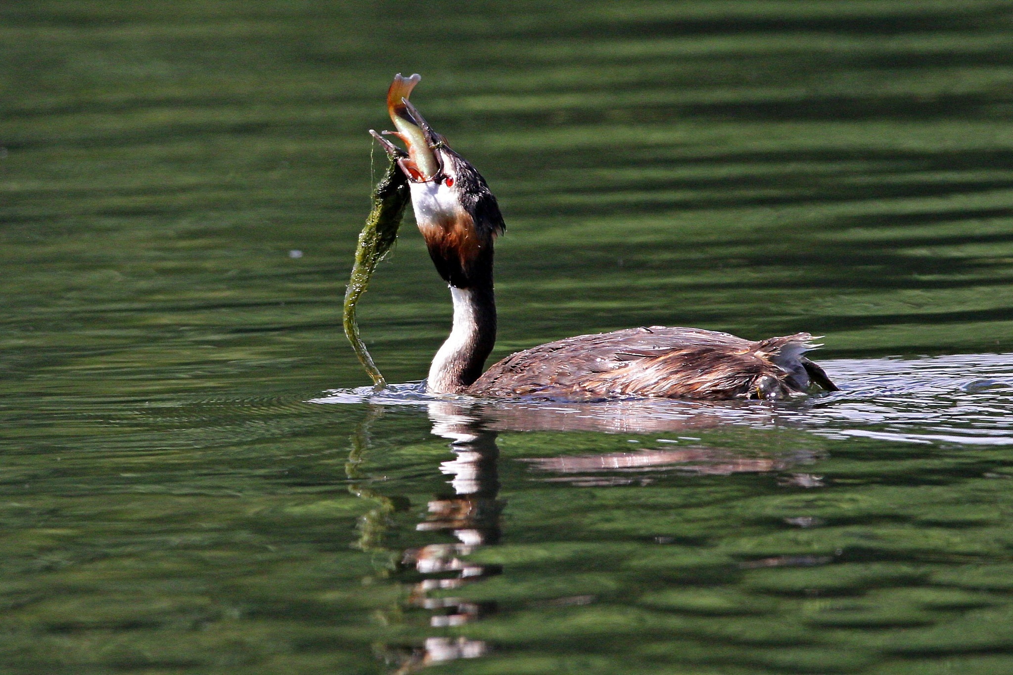 Grebe with Catch by Steve Rawlings