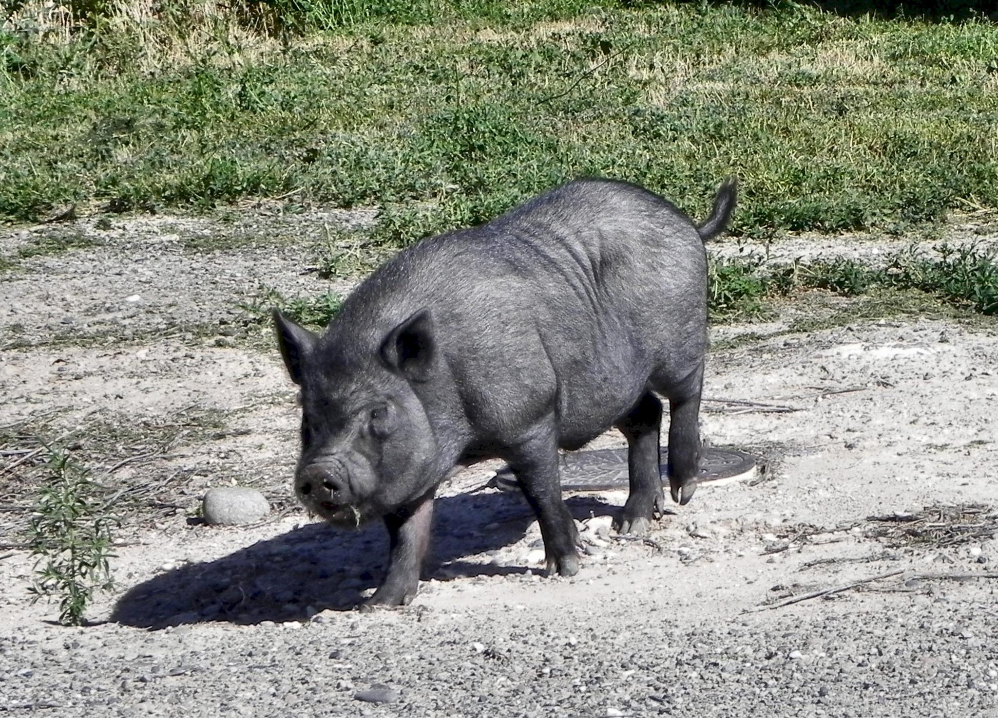 Pig running loose by Tom Young