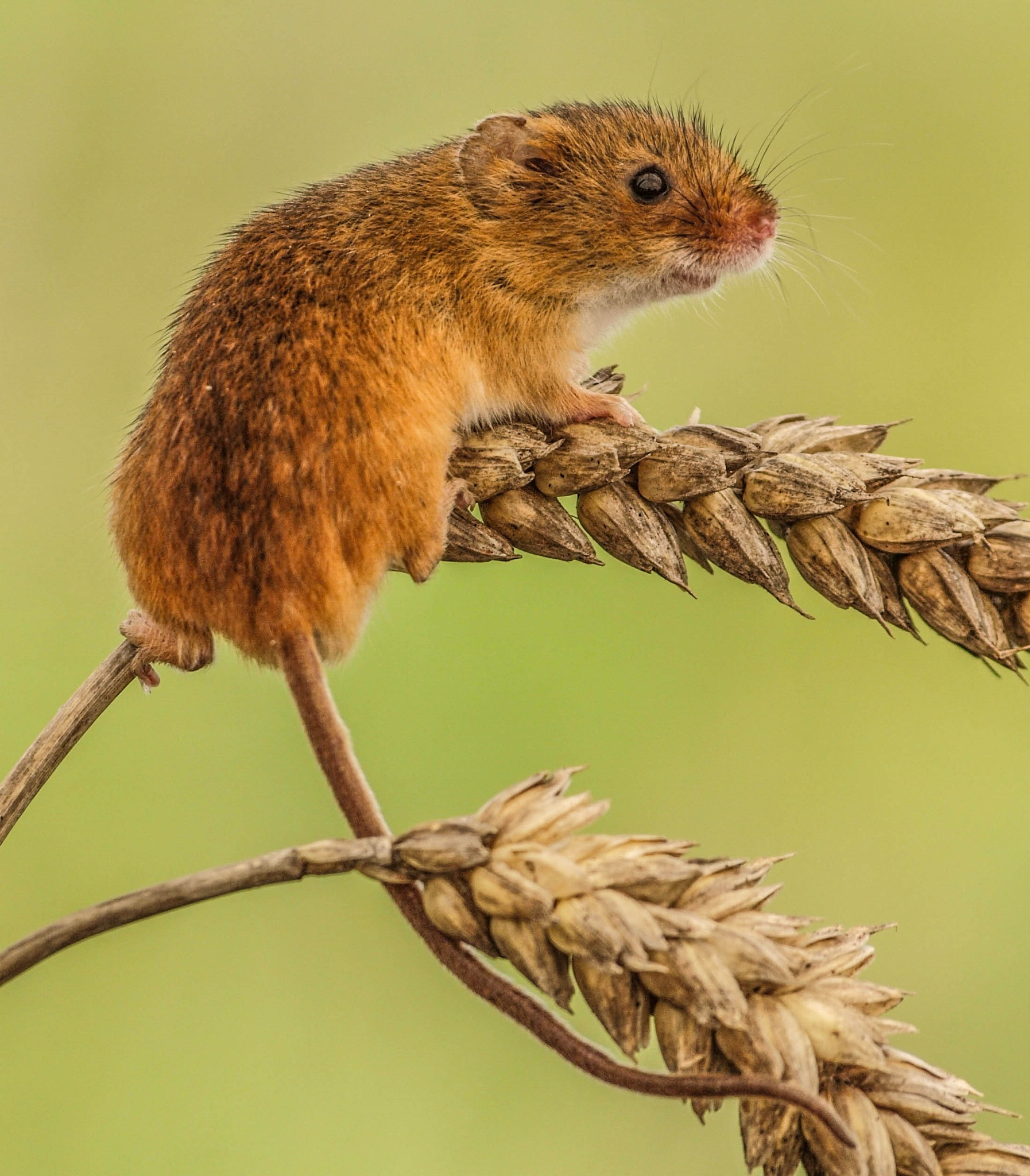 The Harvest Mouse by garry-chisholm1