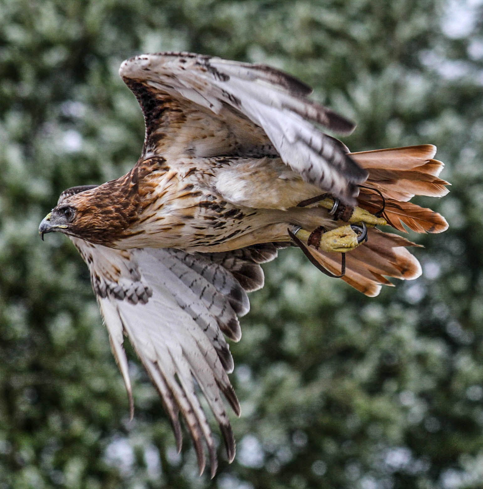 Buzzard by garry-chisholm1