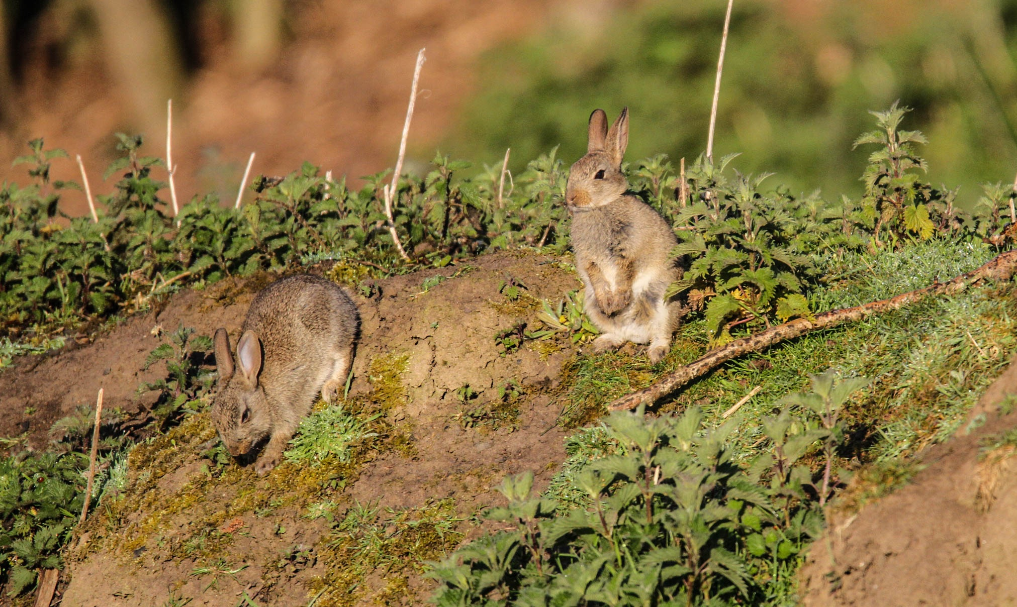 Early morning rabbits by garry-chisholm1