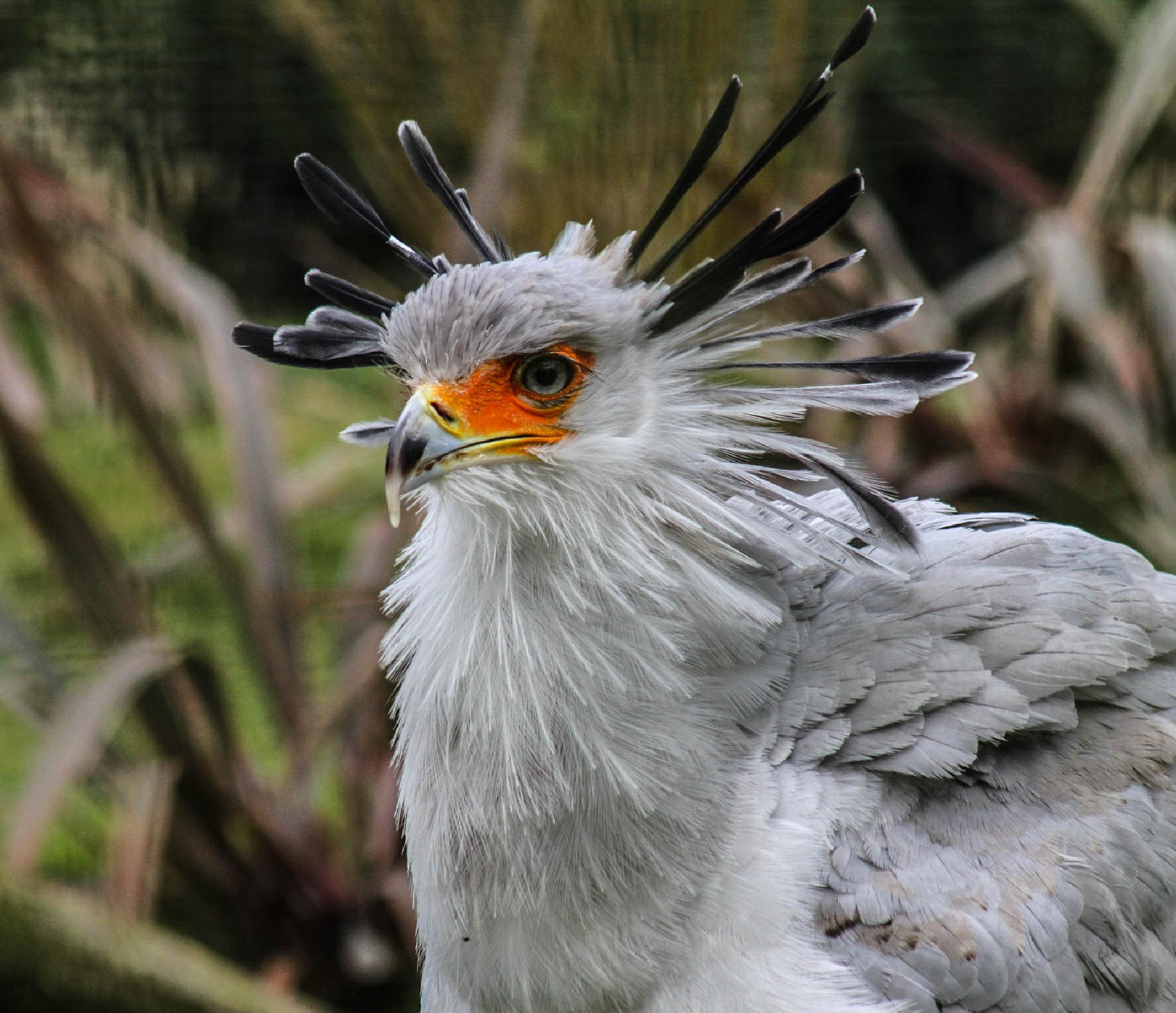 Secretary Bird by garry-chisholm1