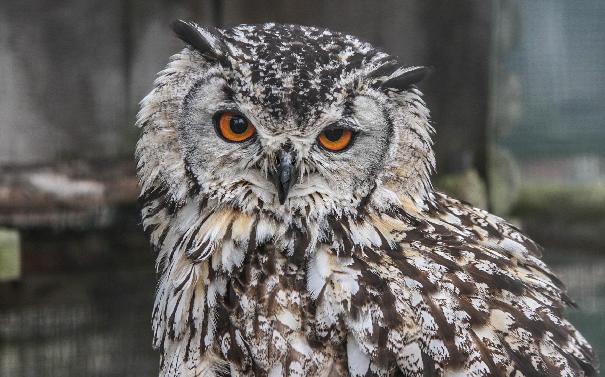 Eagle owl by garry-chisholm1