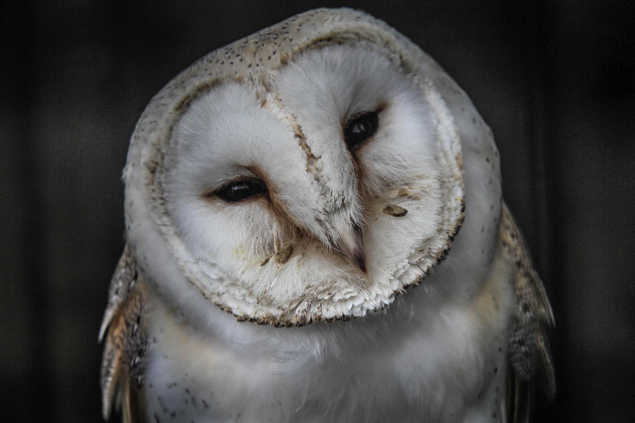 Photo in Animal #barn owl #bird #prey #nature #wildlife