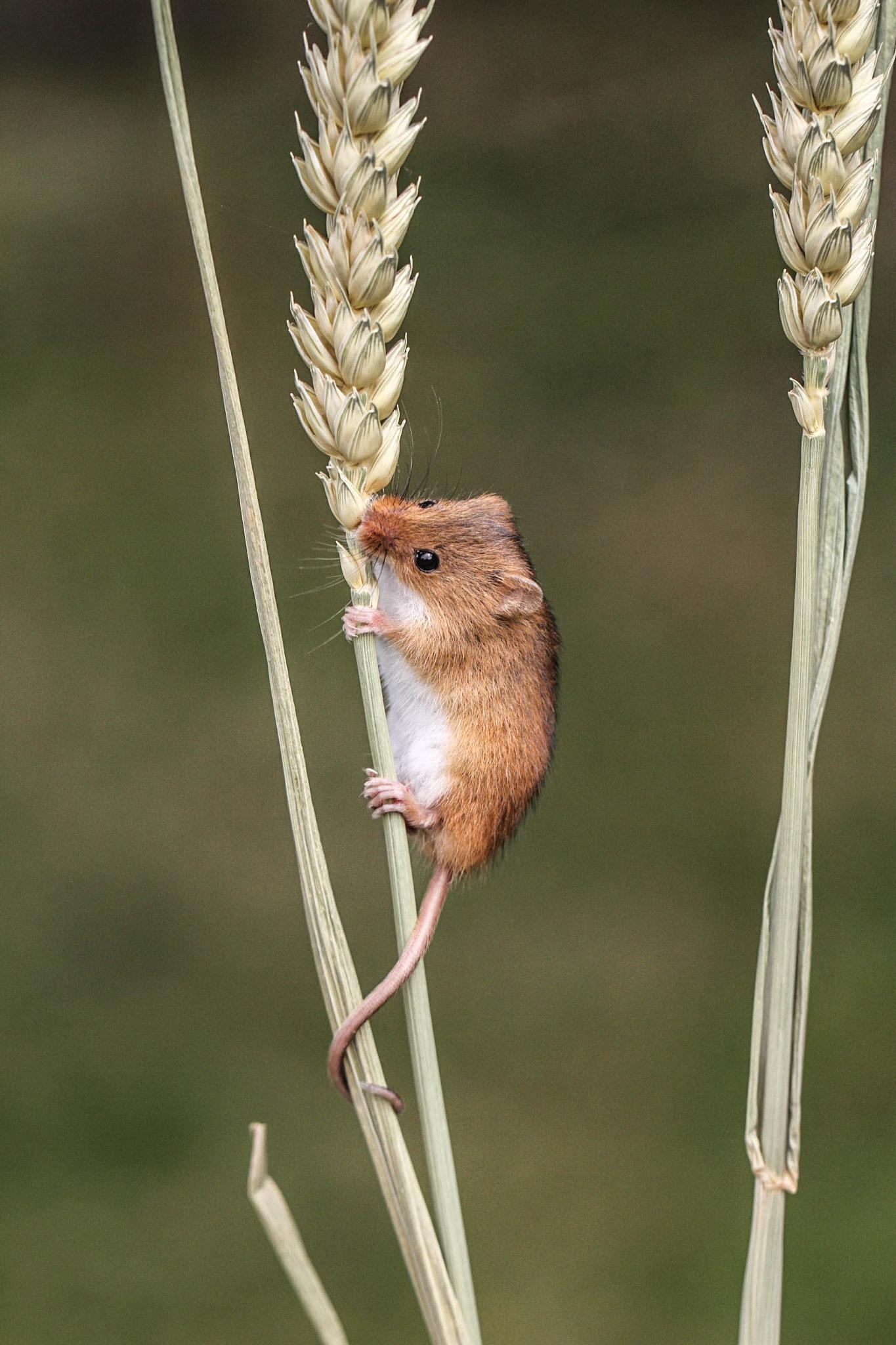 Mouse & wheat by garry-chisholm1