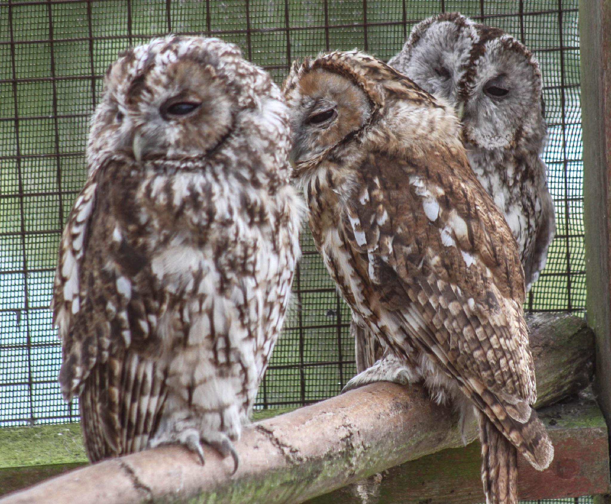 Toowhoo's company three's a crowd by garry-chisholm1