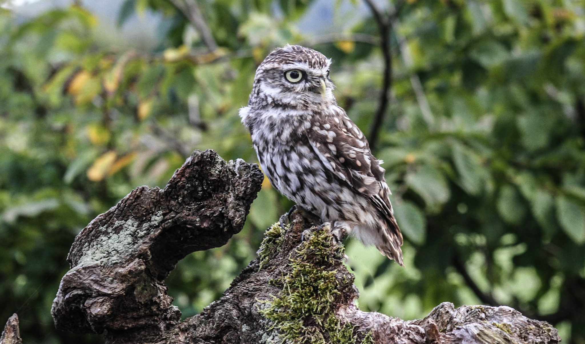 Little Owl by garry-chisholm1