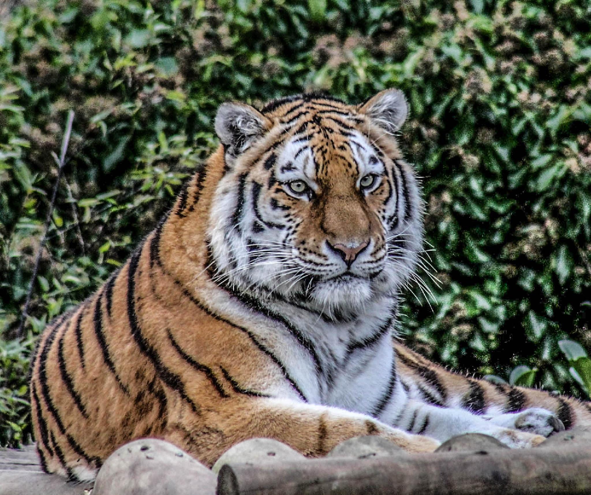 Tiger by garry-chisholm1