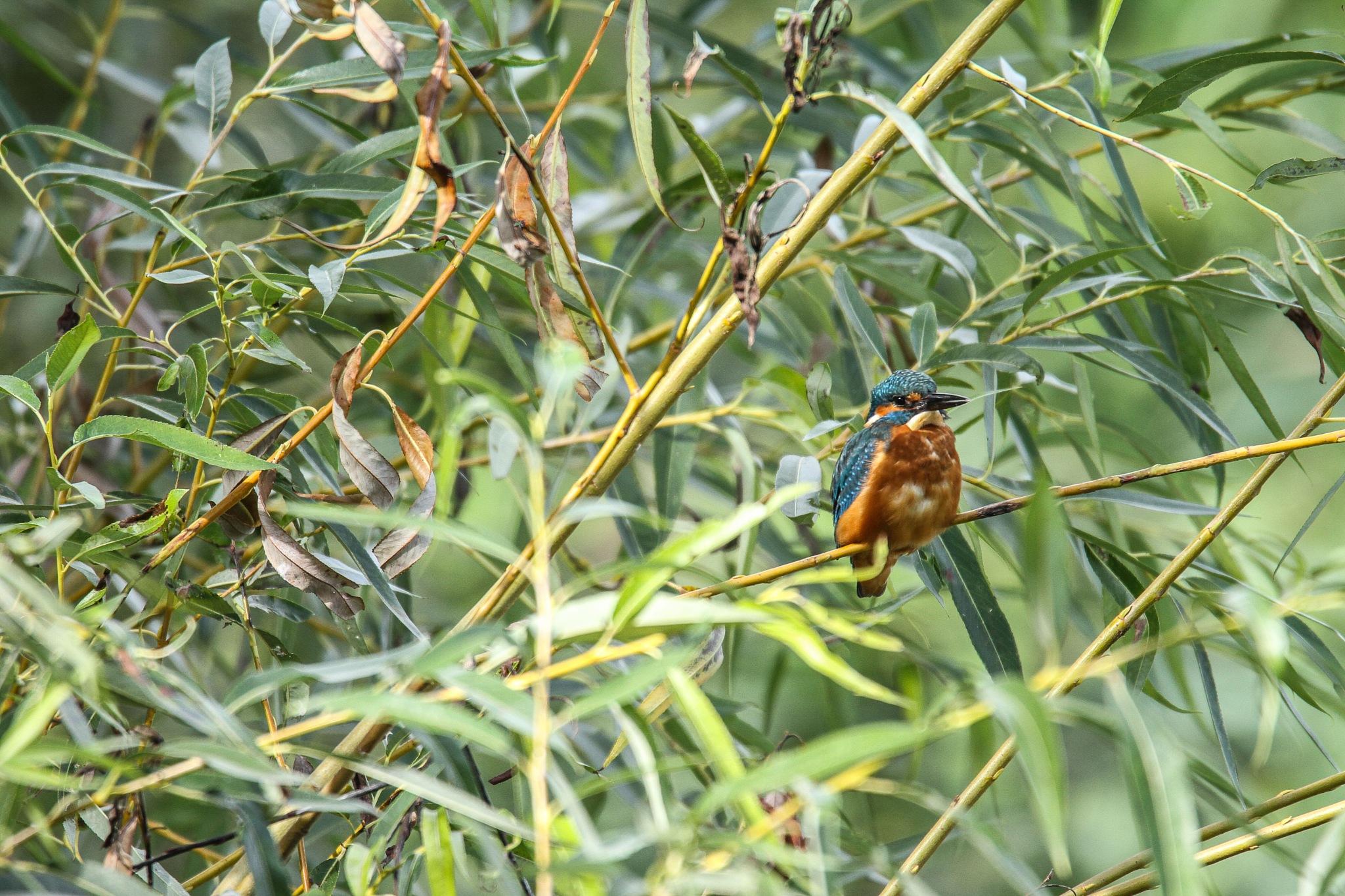 Juvenile kingfisher by garry-chisholm1