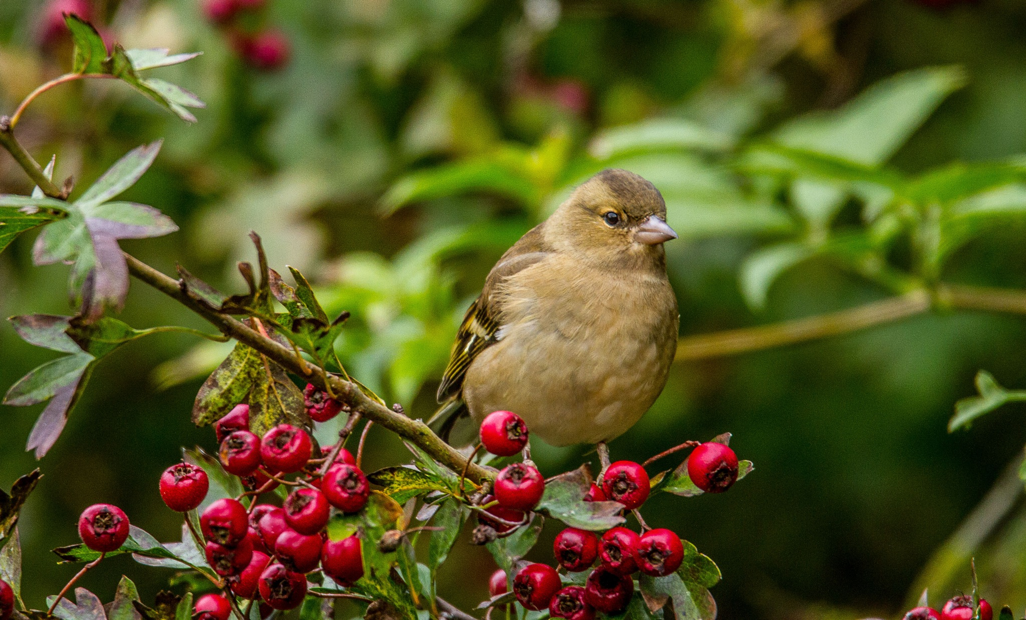Amongst the berries by garry-chisholm1