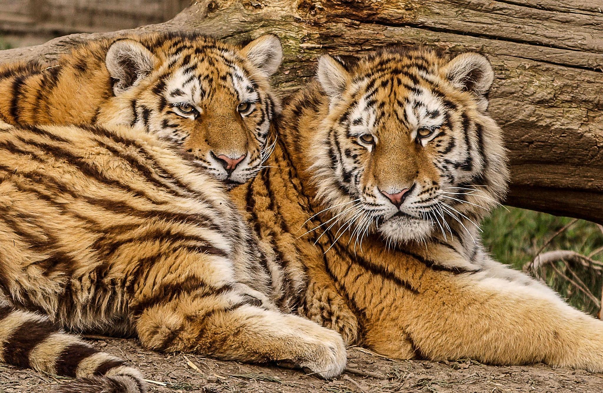 Snug cubs by garry-chisholm1