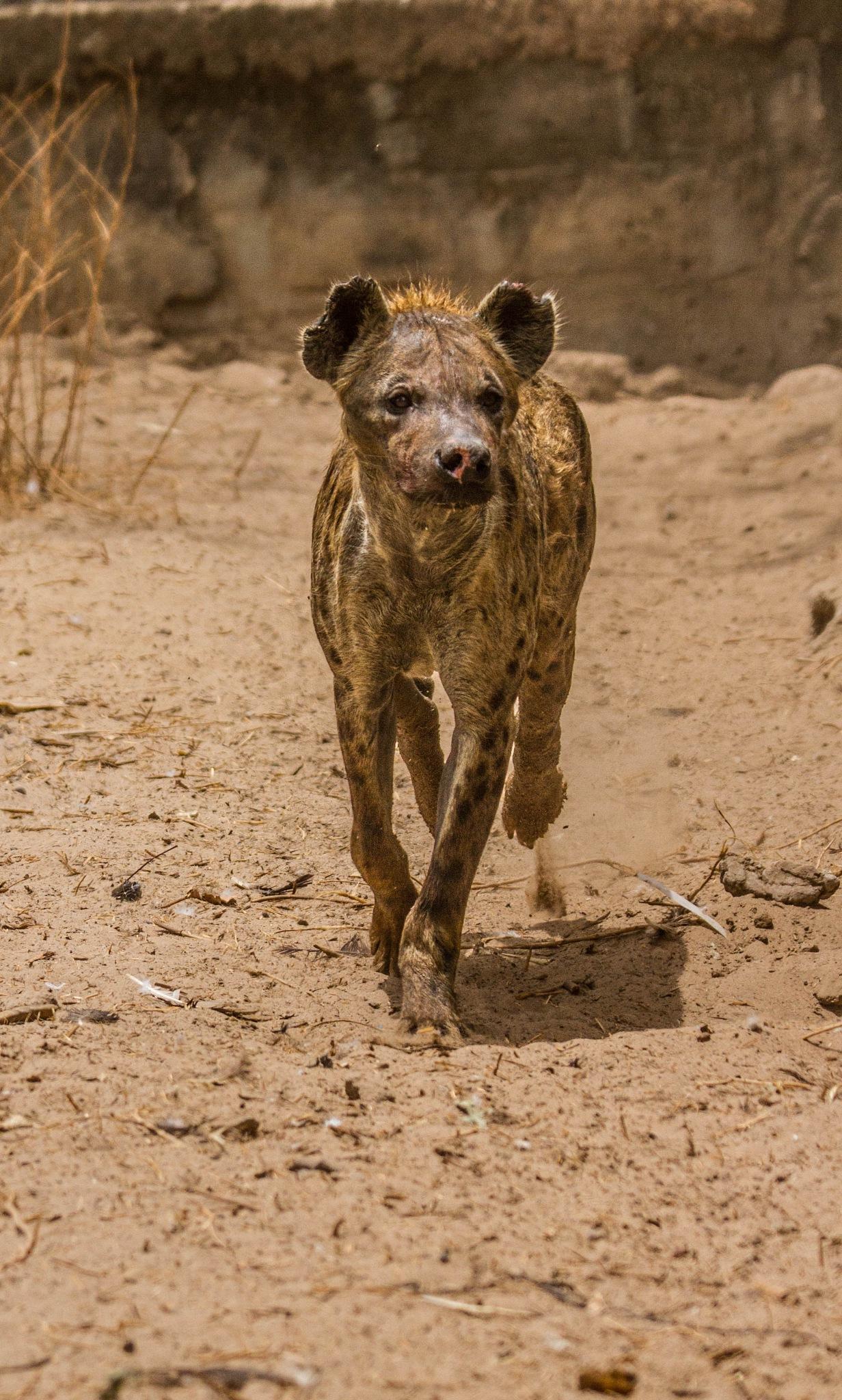 Hyena by garry-chisholm1