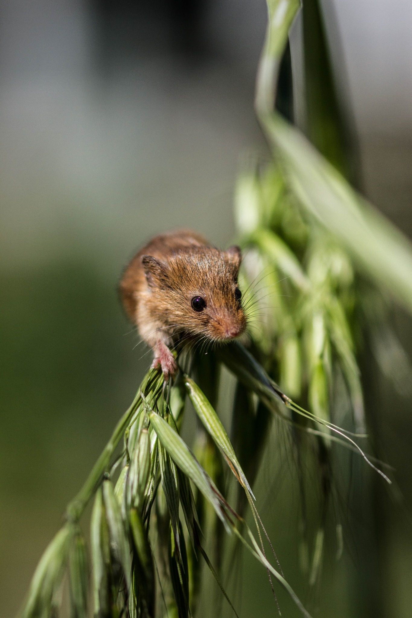 Harvest mouse by garry-chisholm1