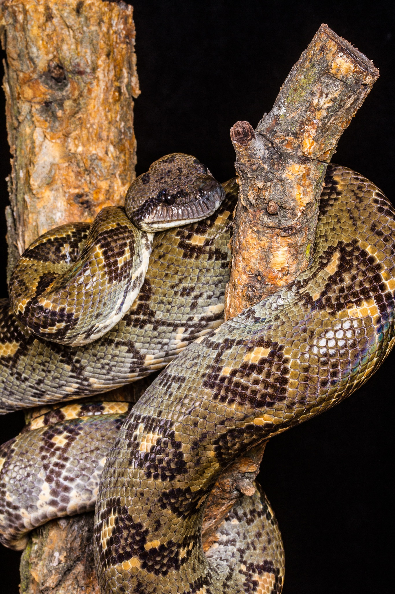 Madagascan Boa by garry-chisholm1